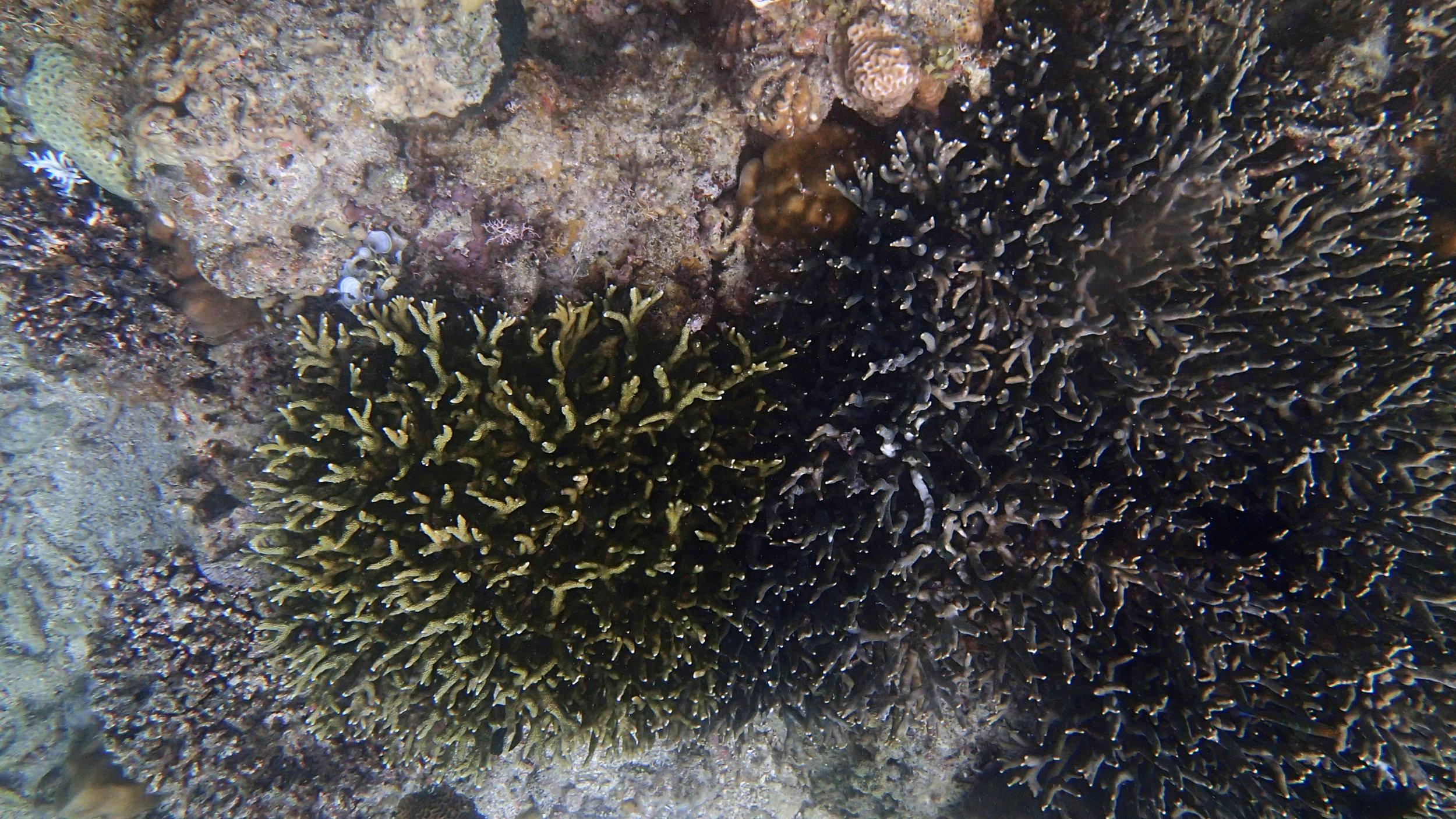 Hydnophora.jpg