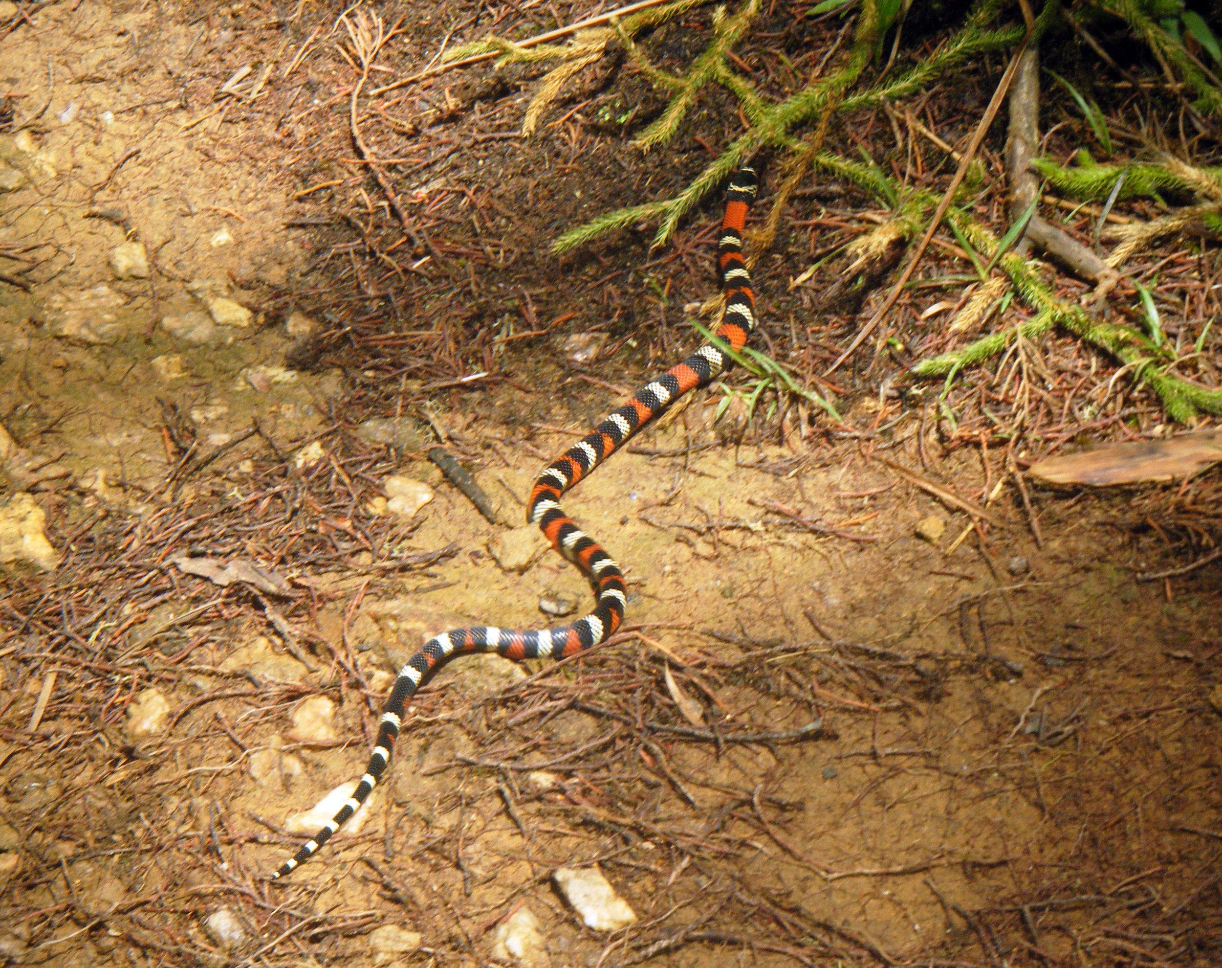 false coral snake.jpg