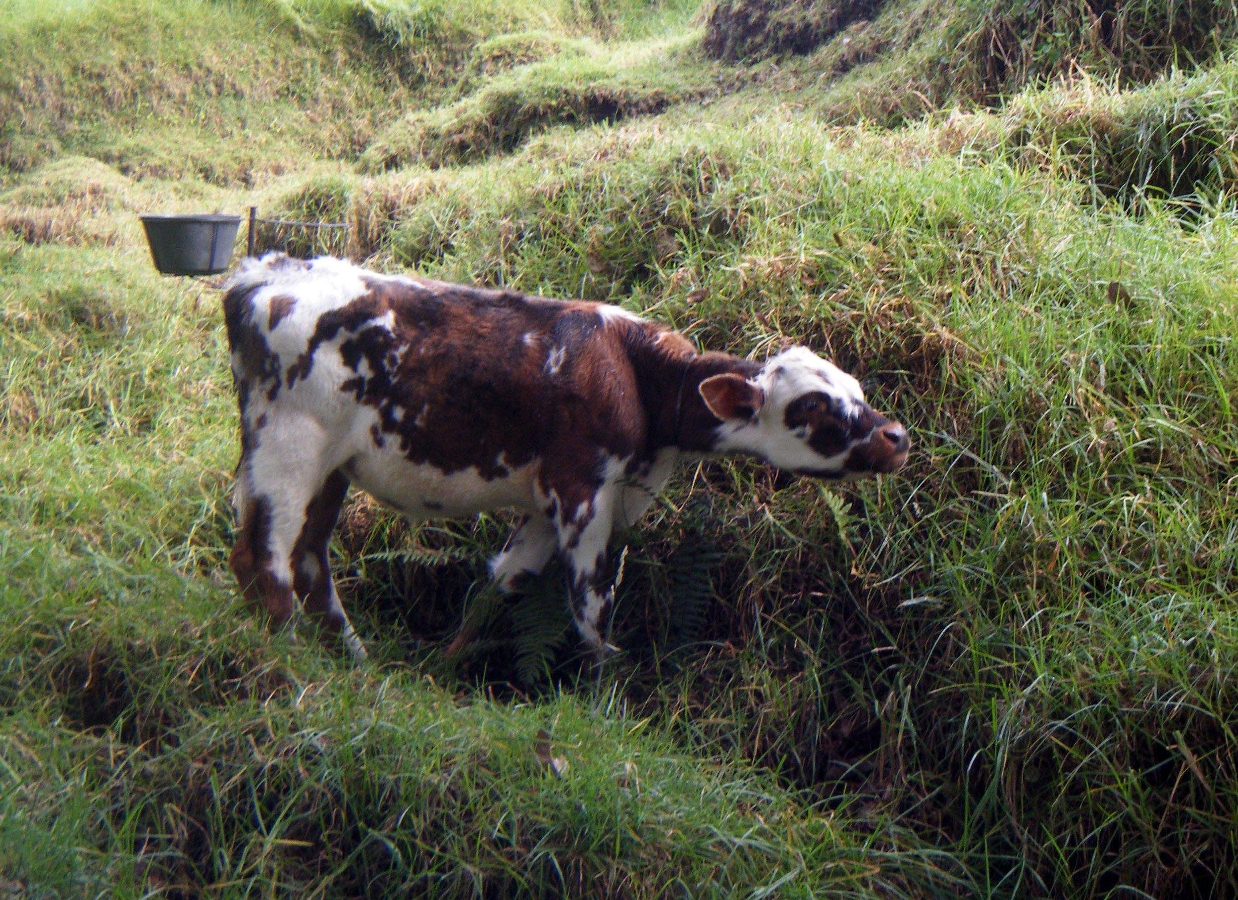 baby cow.jpg