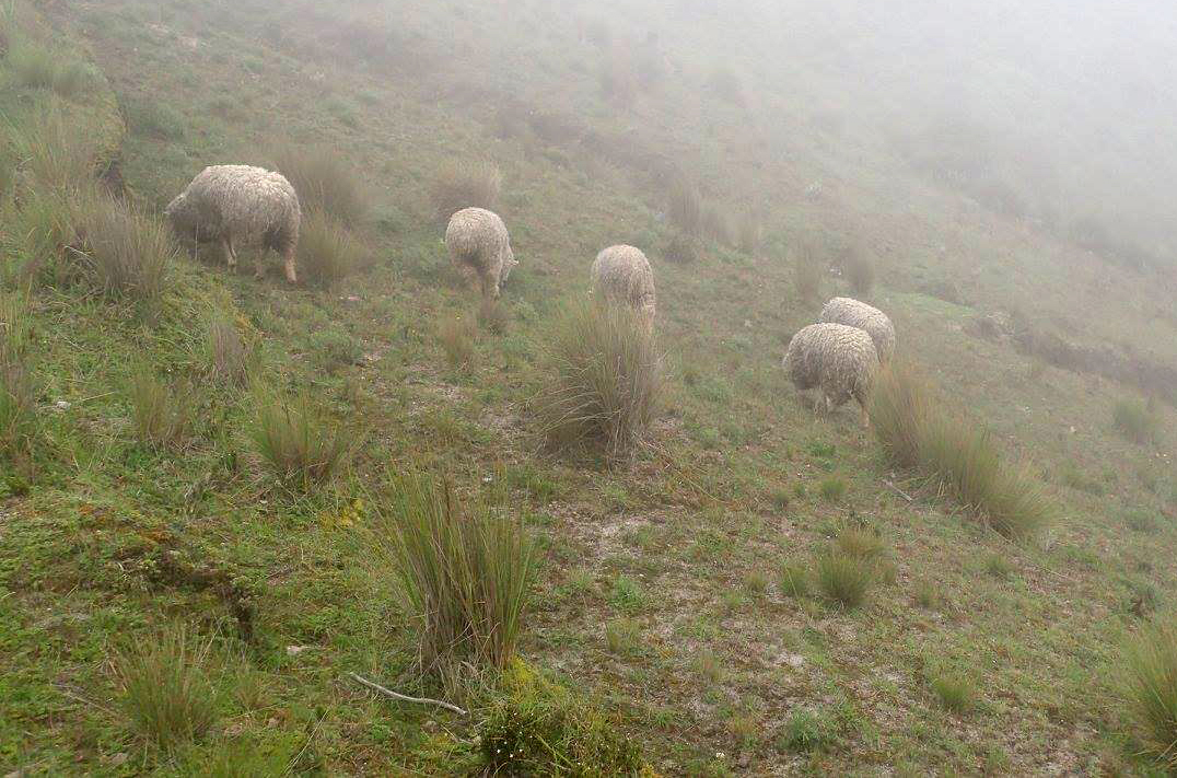 sheep in the mist.jpg