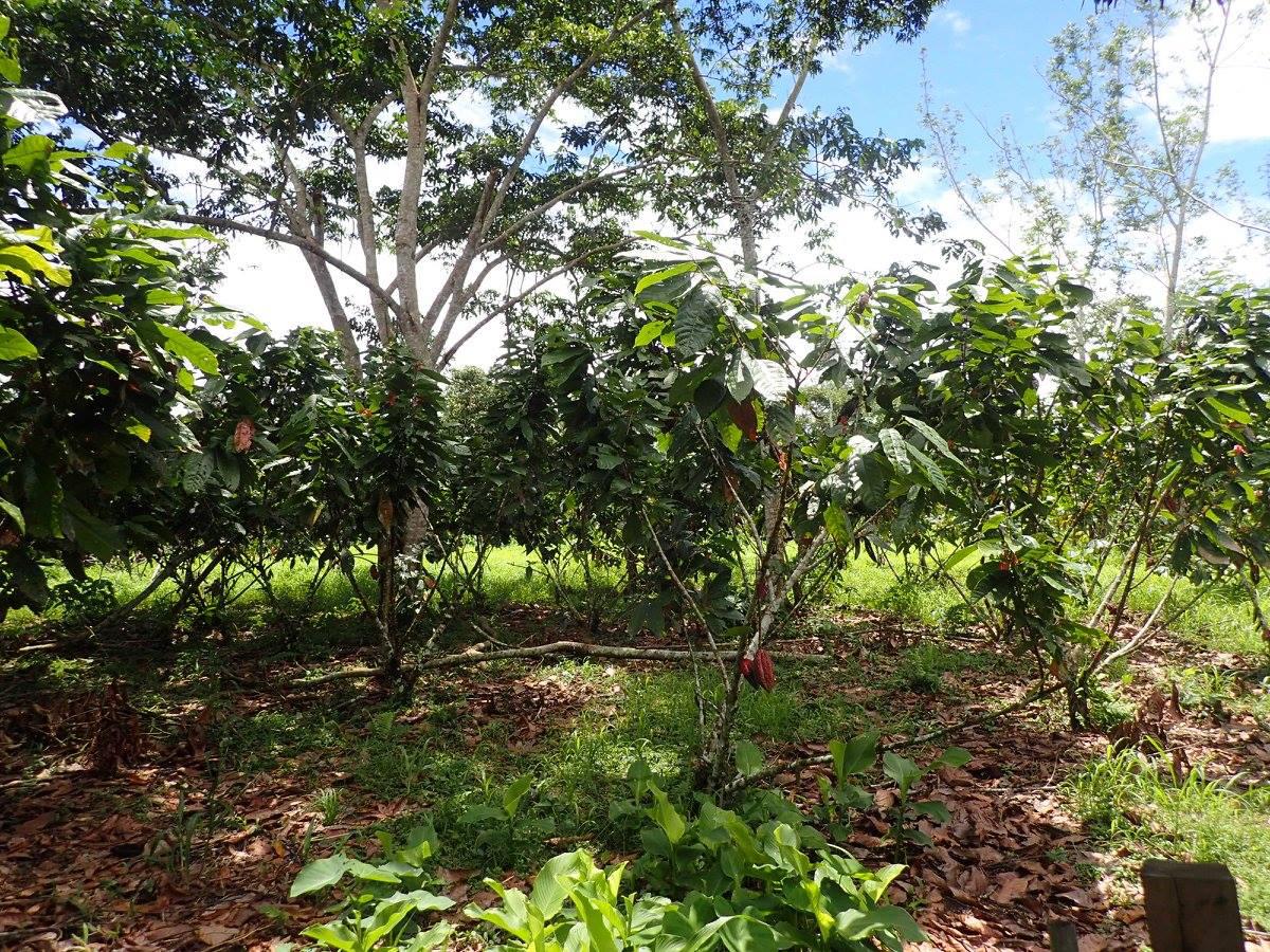 cacao farm.jpg