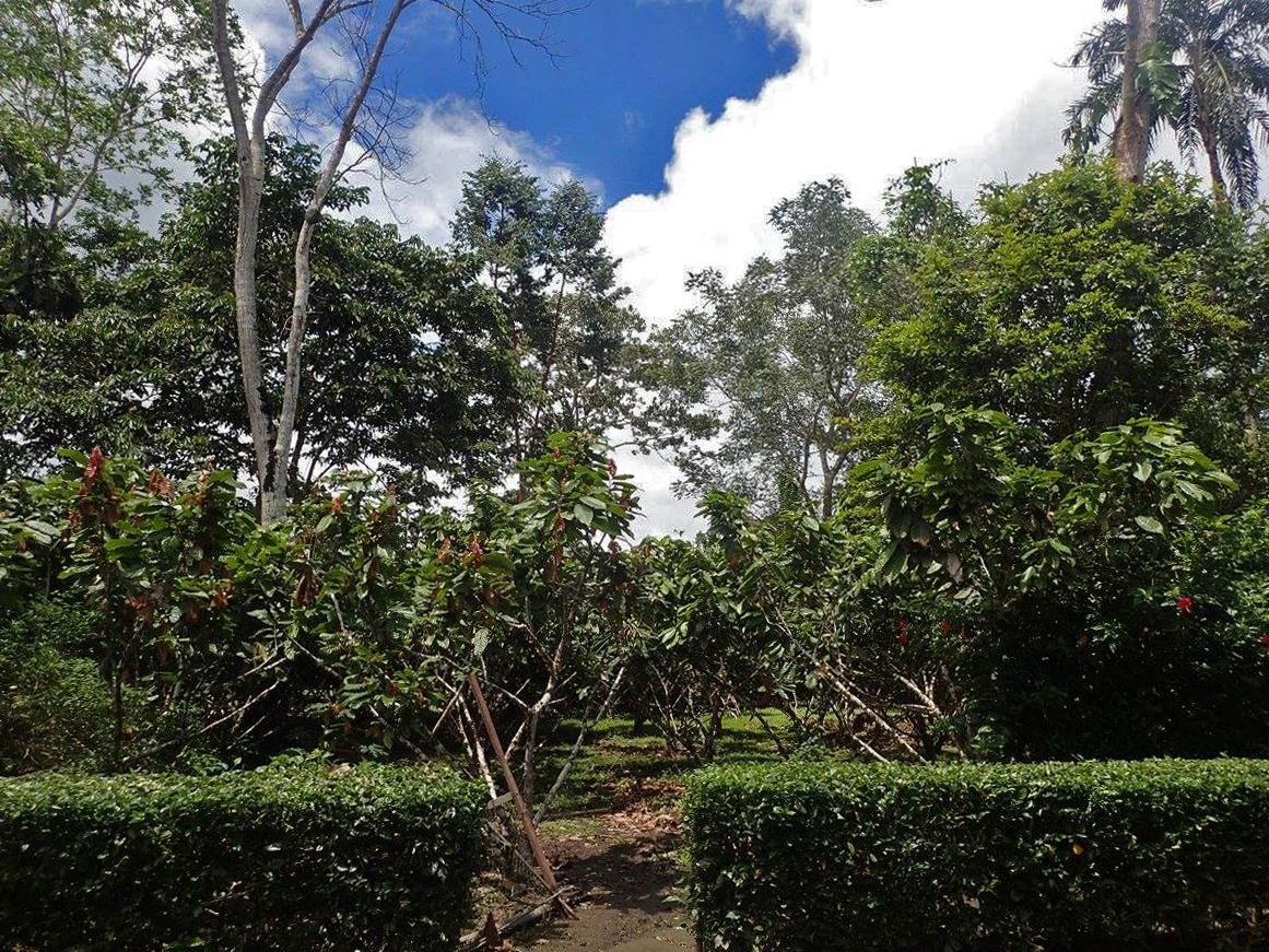 cocoa farm.jpg