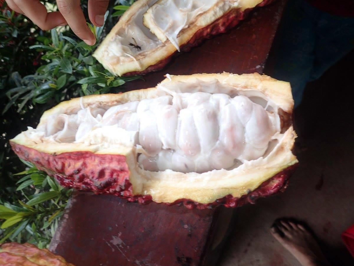 cocoa fruit.jpg