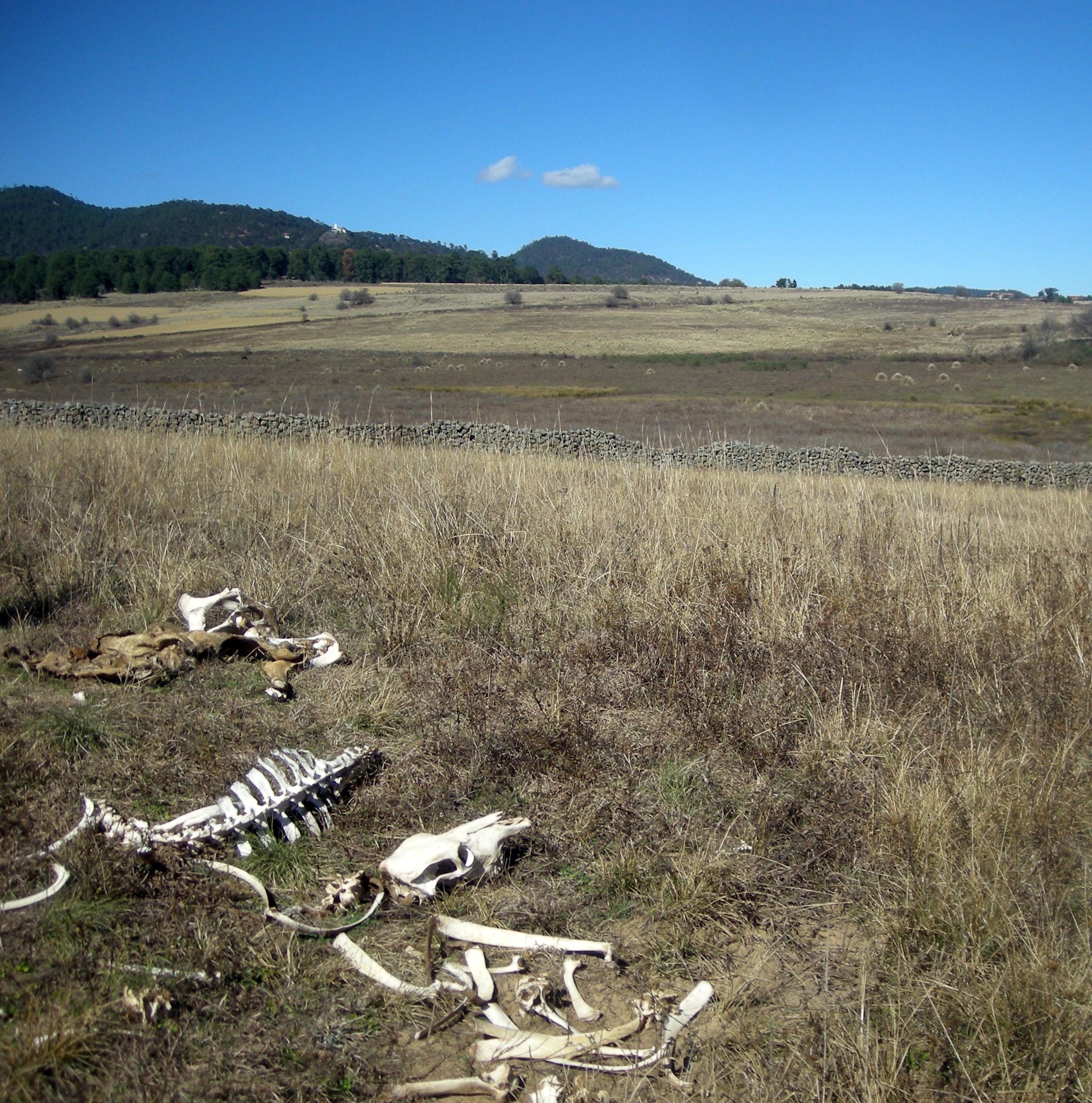 dead cow.jpg