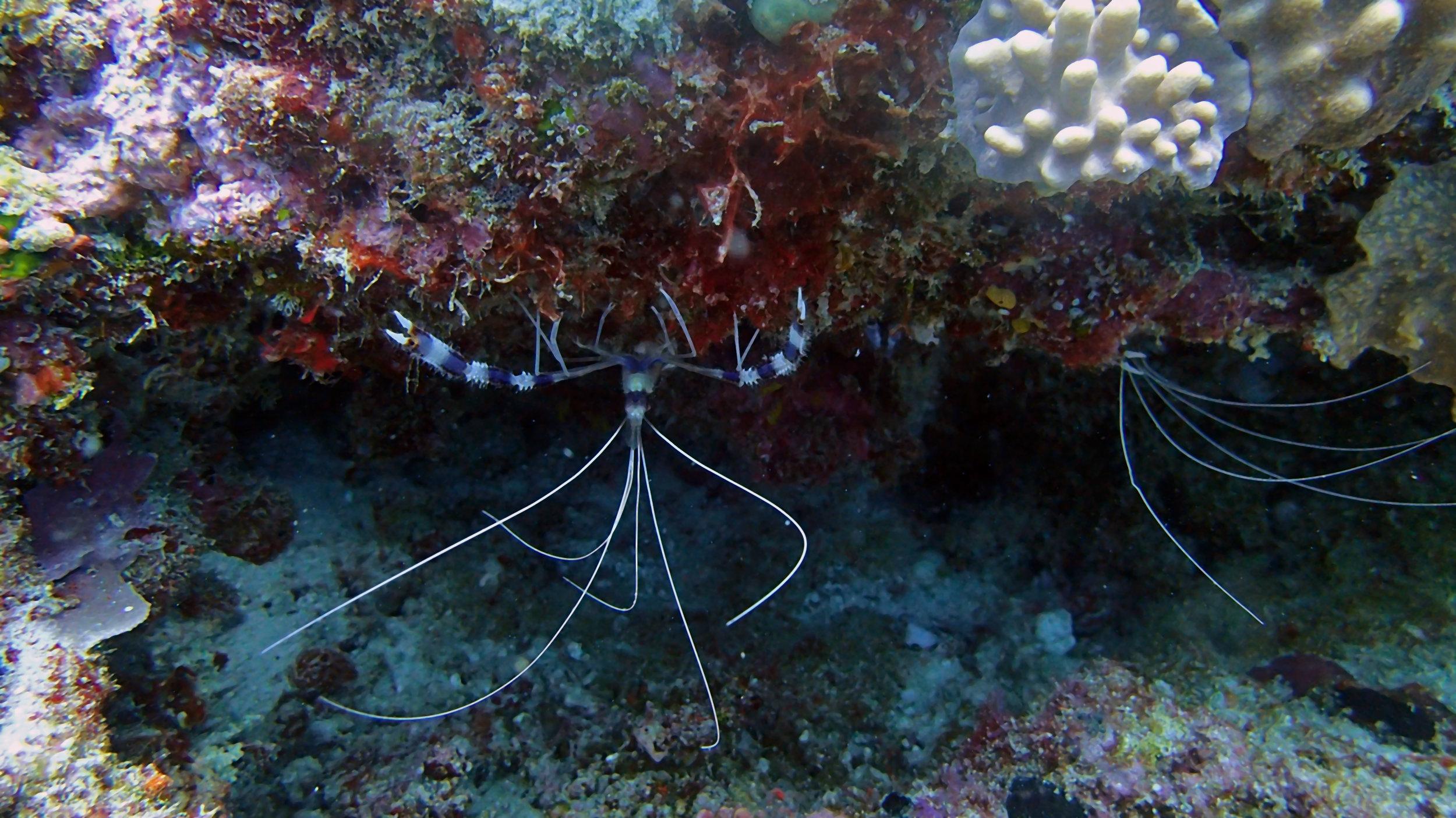 boxer shrimp.jpg