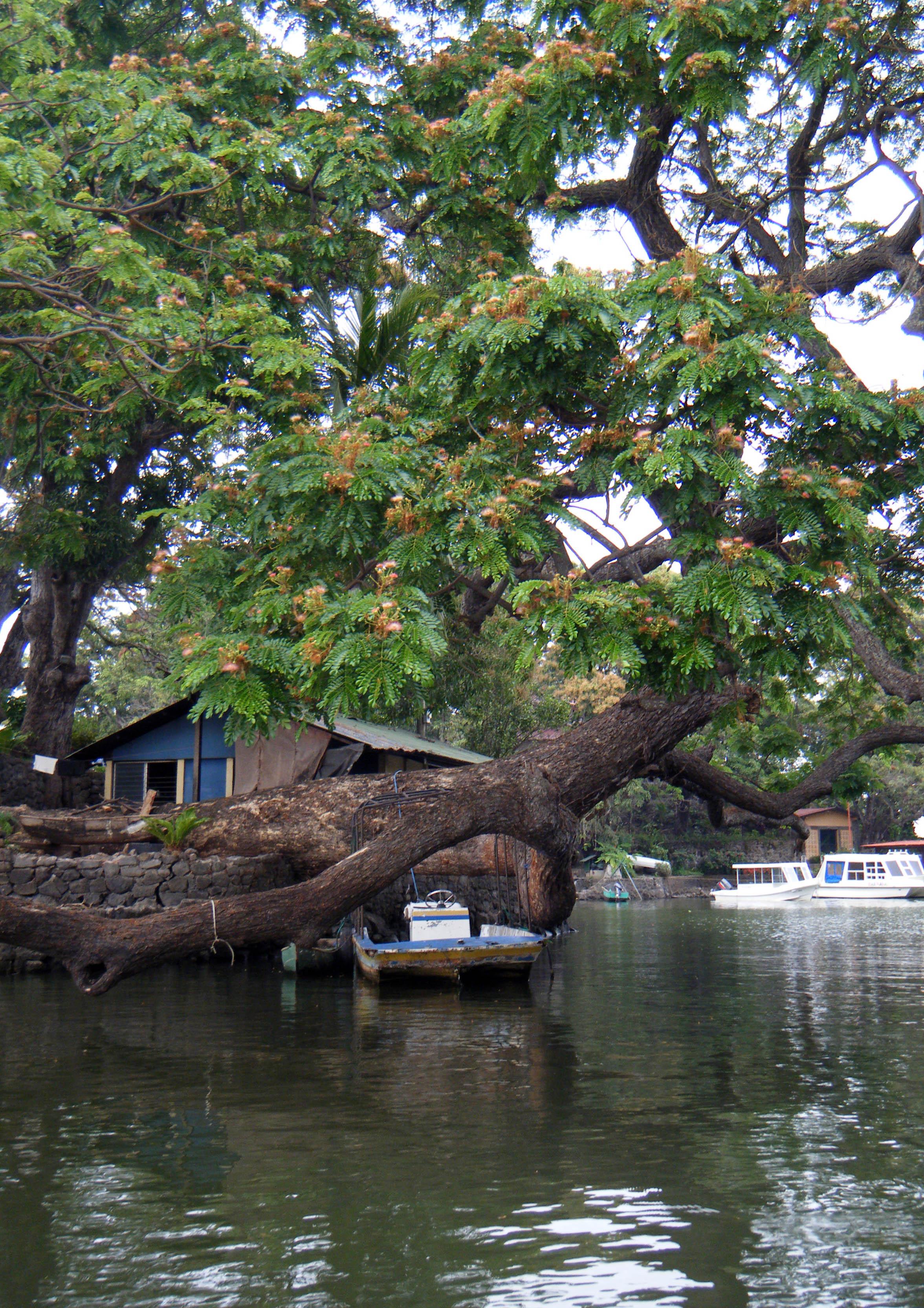 ceiba tree.jpg