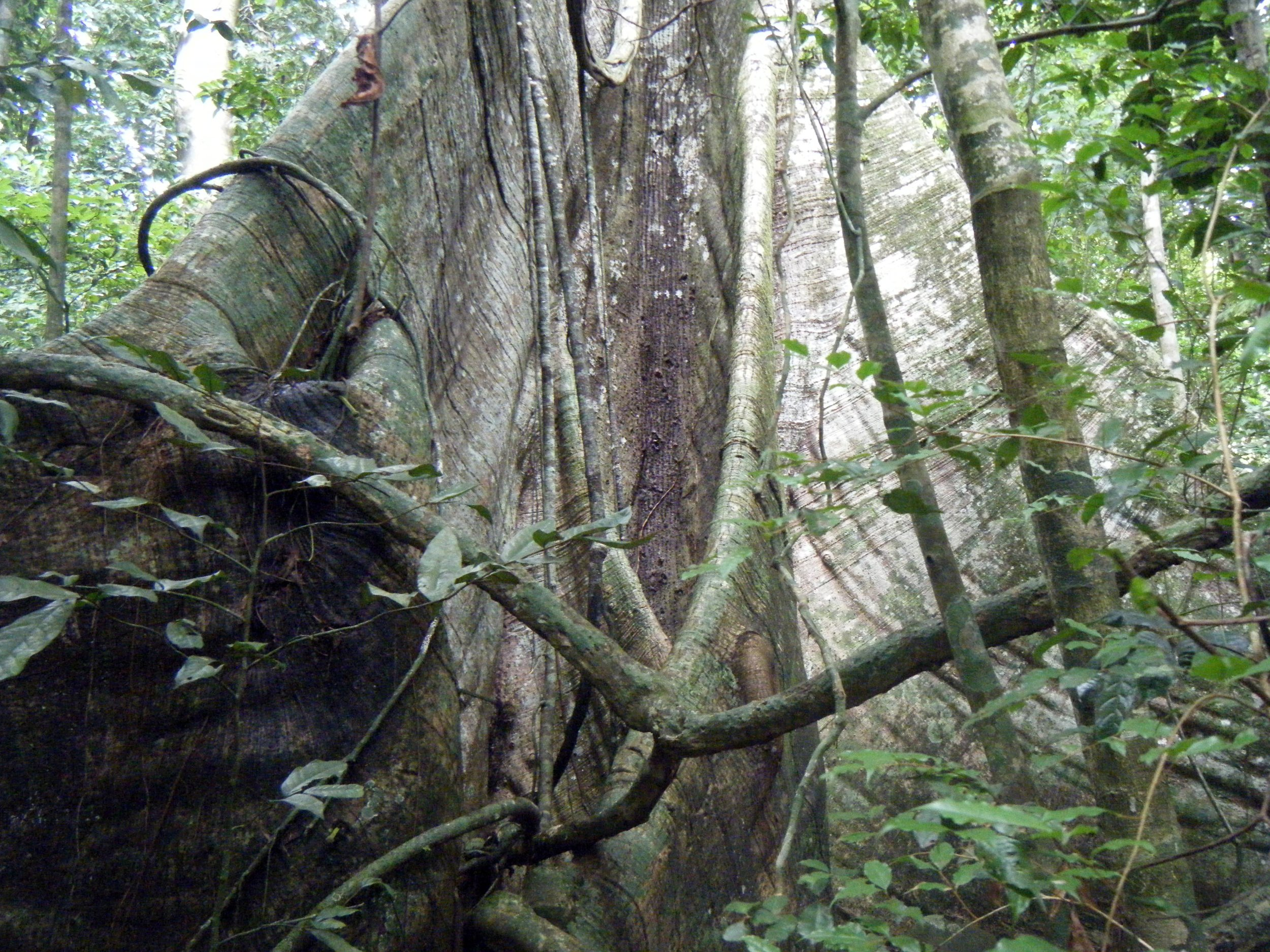 giant ceiba tree.jpg
