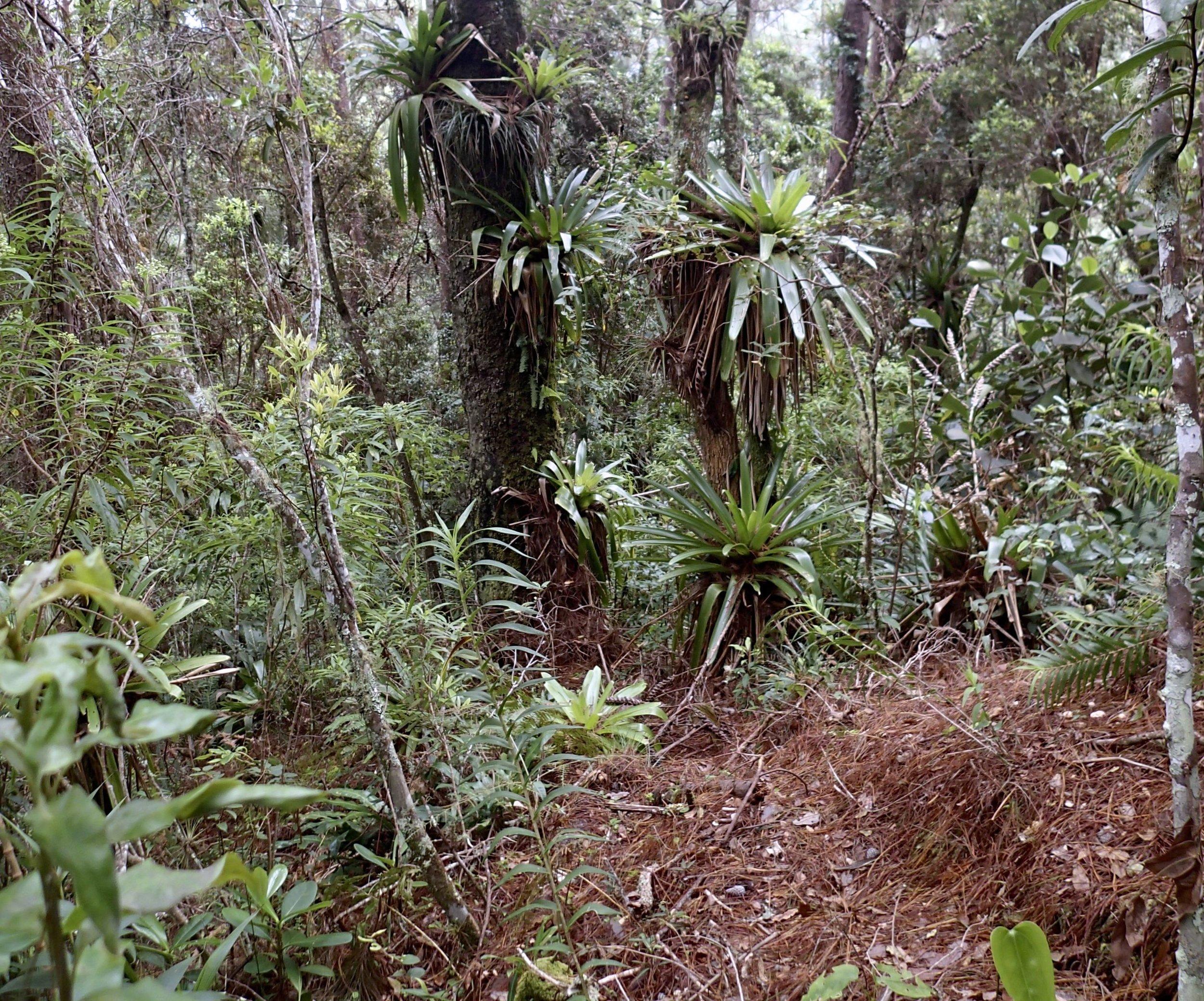 bromeliad forest.jpg