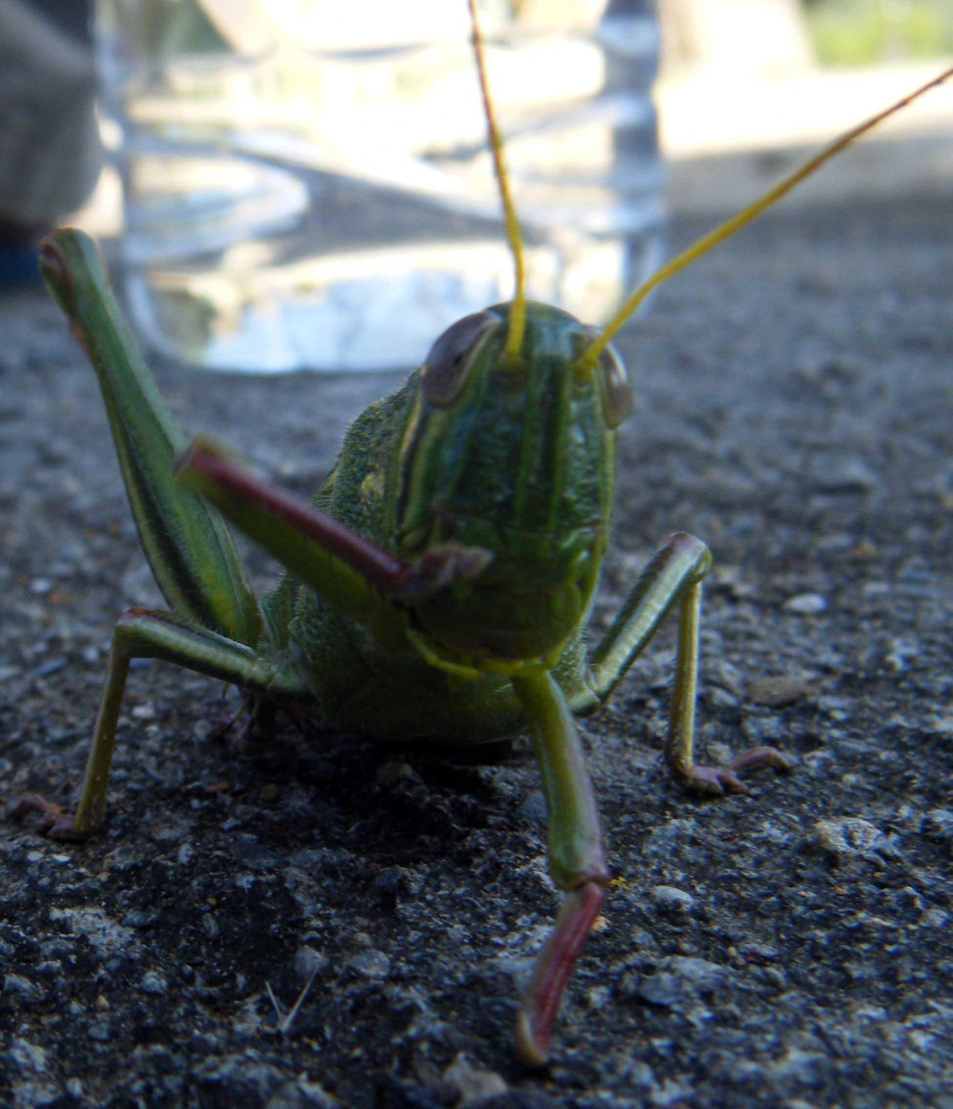 giant grasshopper.jpg