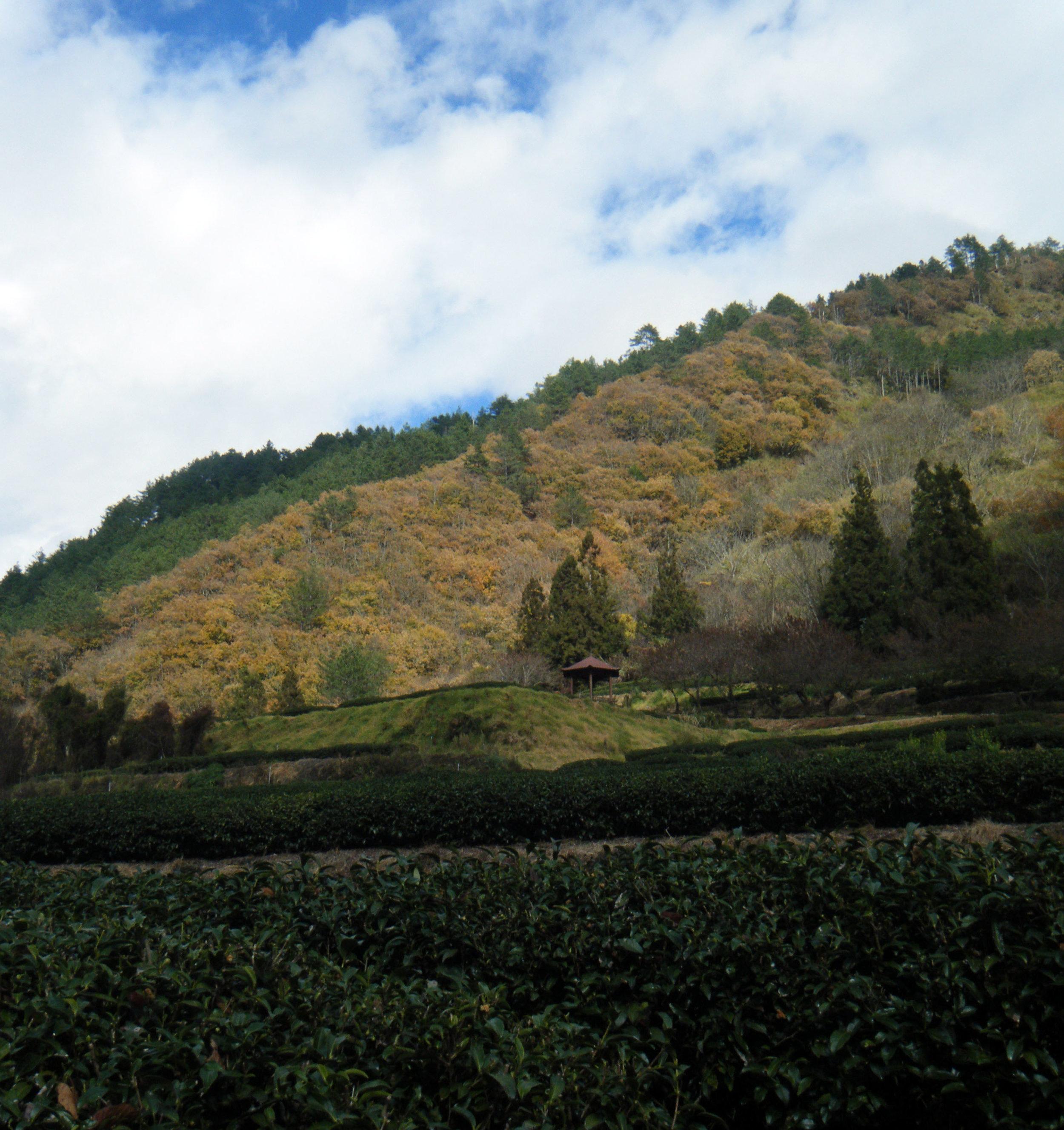 Wuling Farm tea garden.jpg
