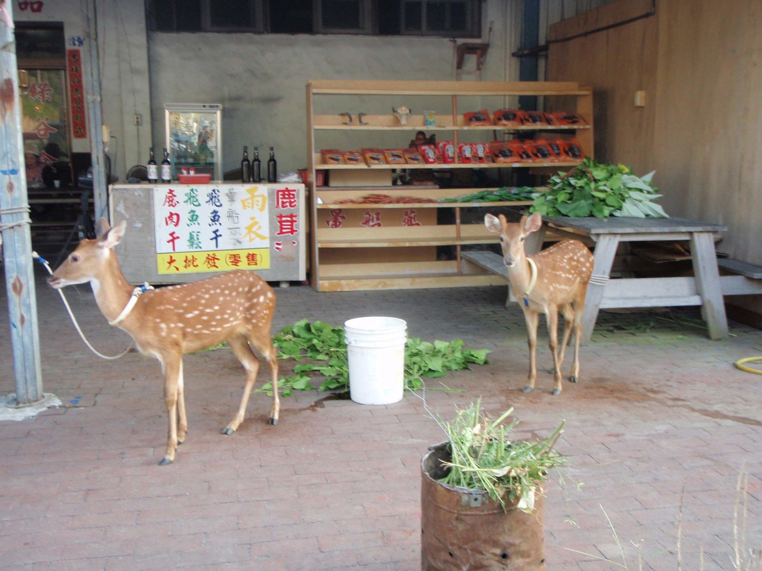Green Island deer.jpg