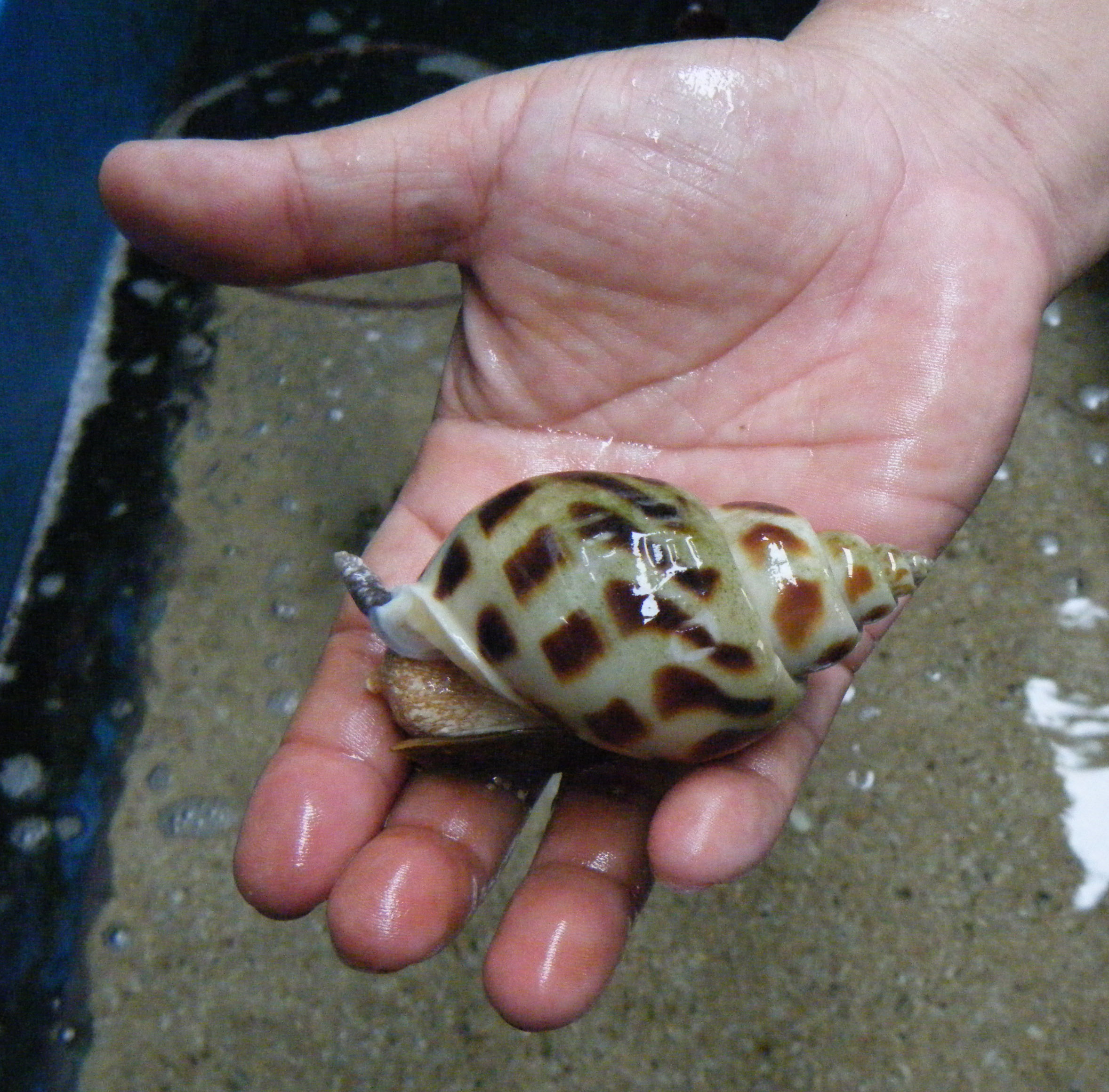 cultured snail.jpg