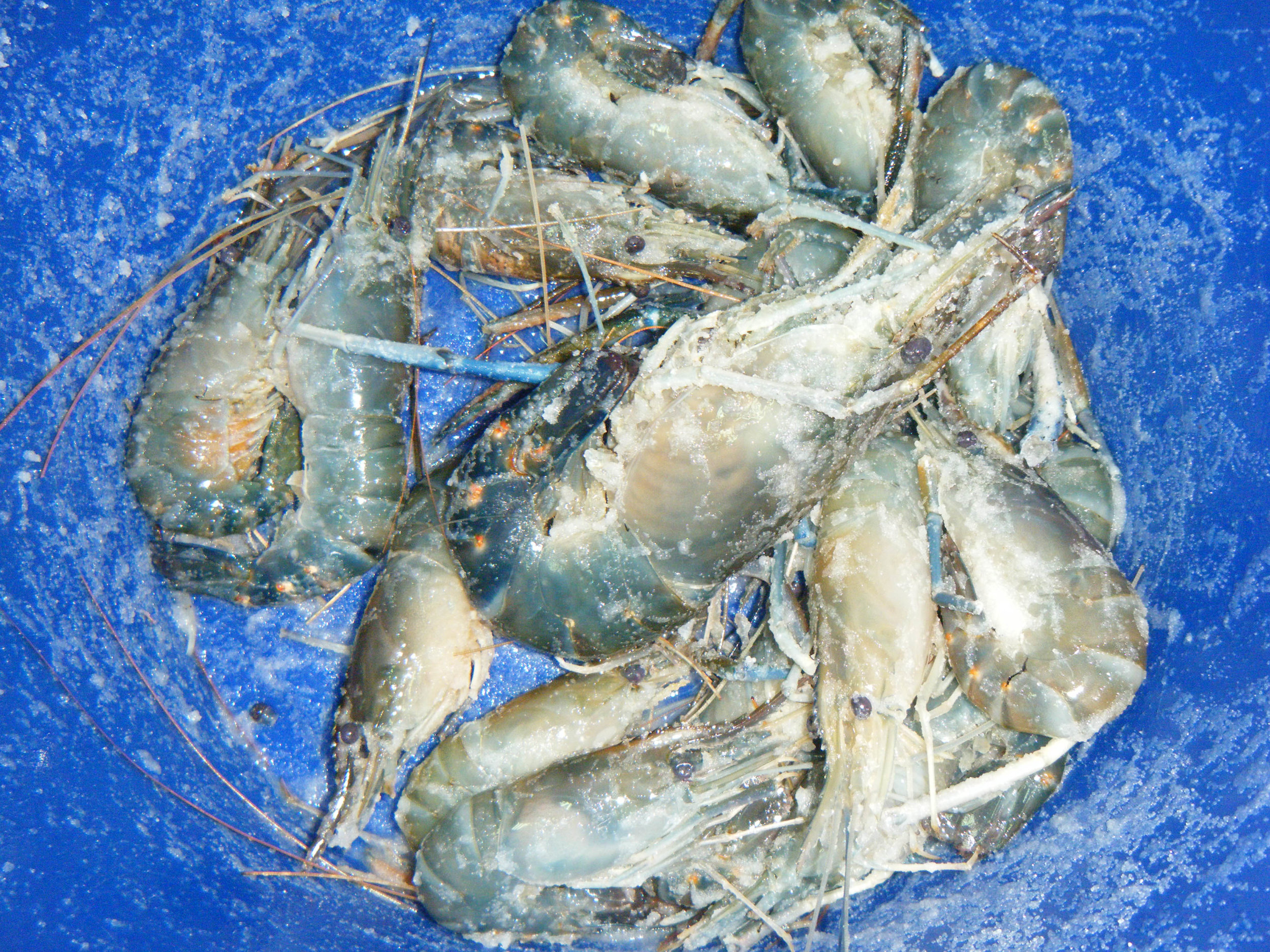 salted shrimp bucket.jpg
