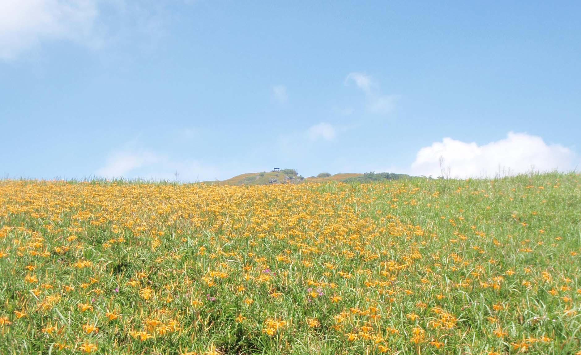 Lily field 2.jpg