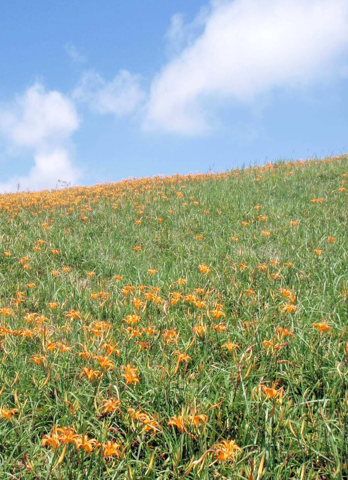 Lily field.jpg