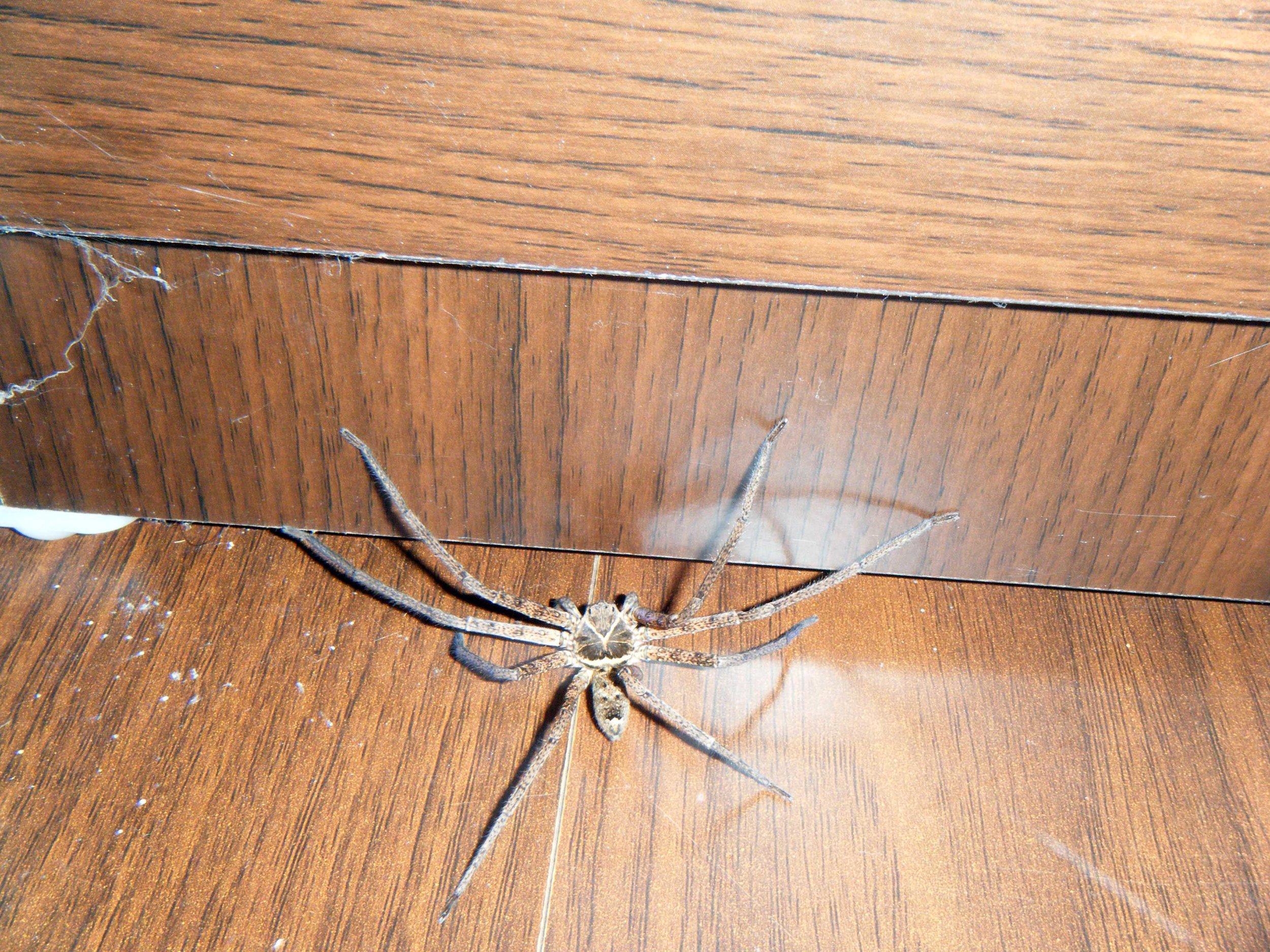 giant spider Mataian.jpg