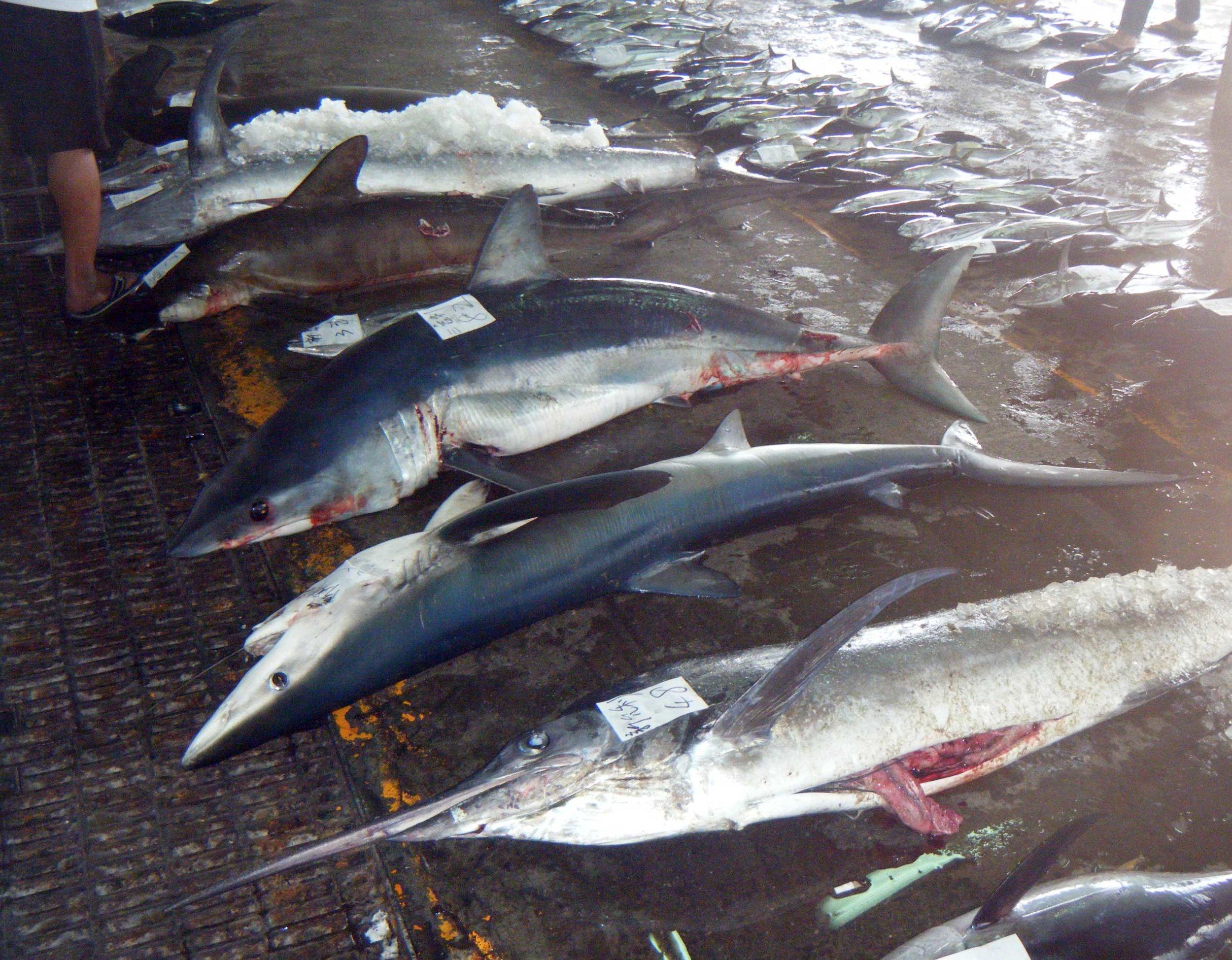 dead sharks and marlin.jpg