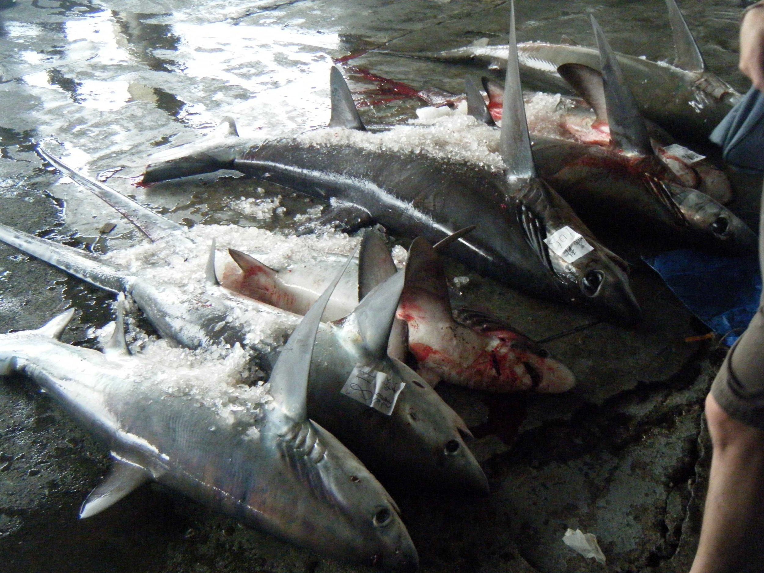 dead sharks.jpg