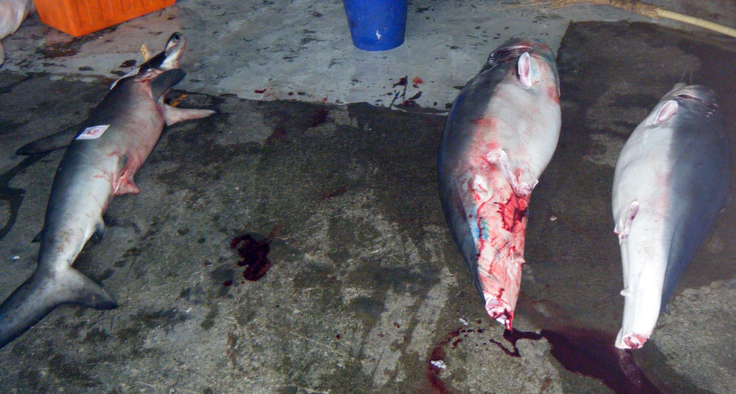 finned sharks.jpg