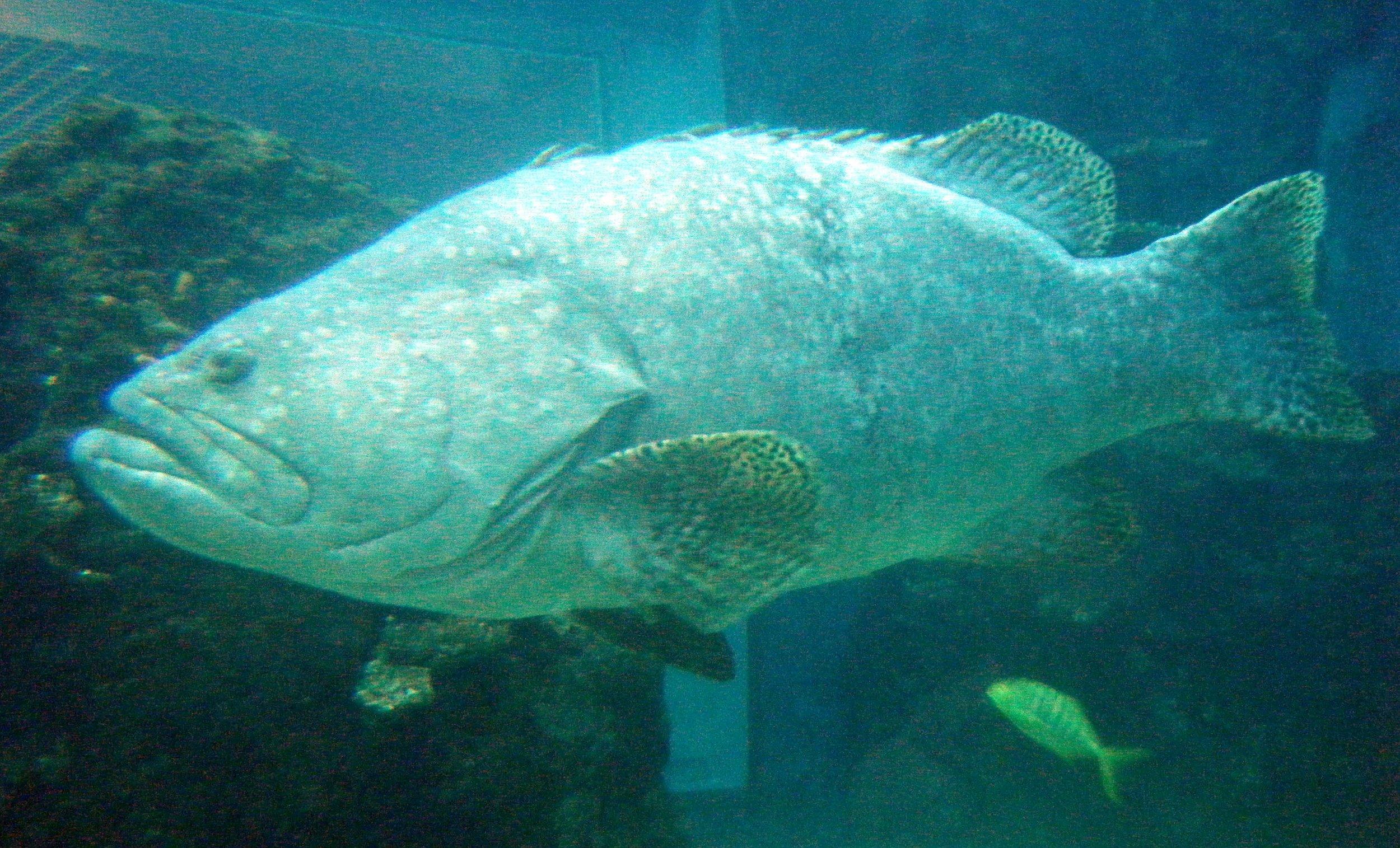 giant grouper.jpg