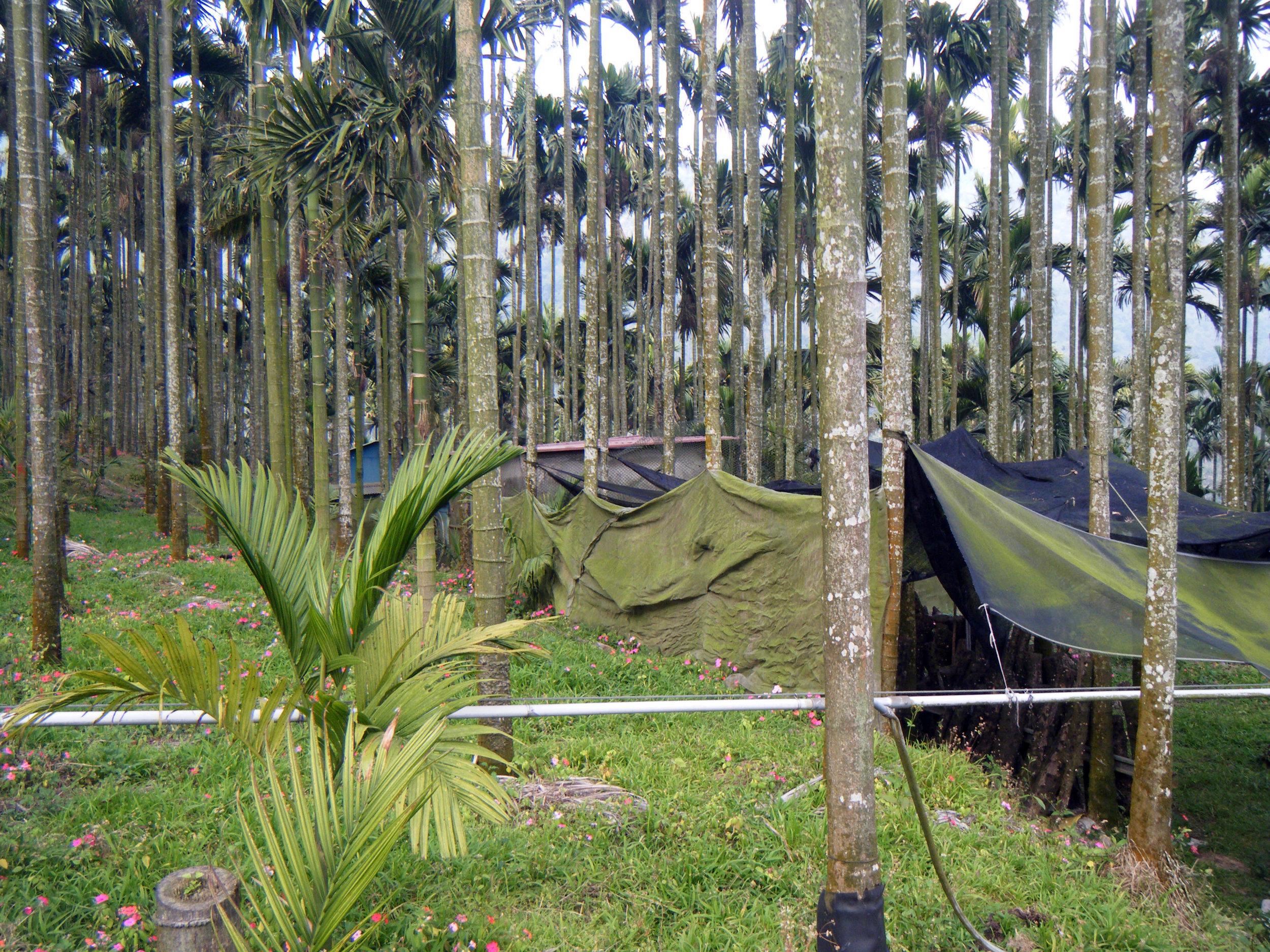 amongst the betelnut trees.jpg