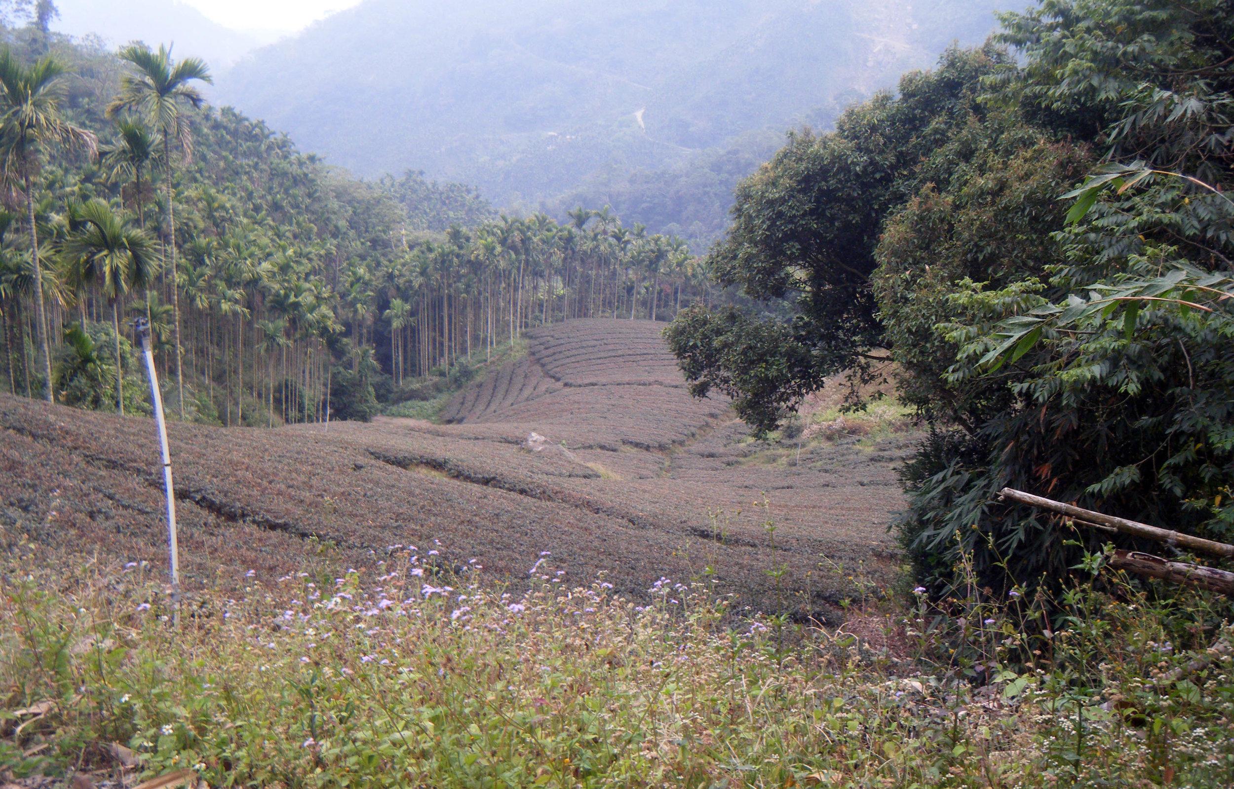 tea fields.jpg