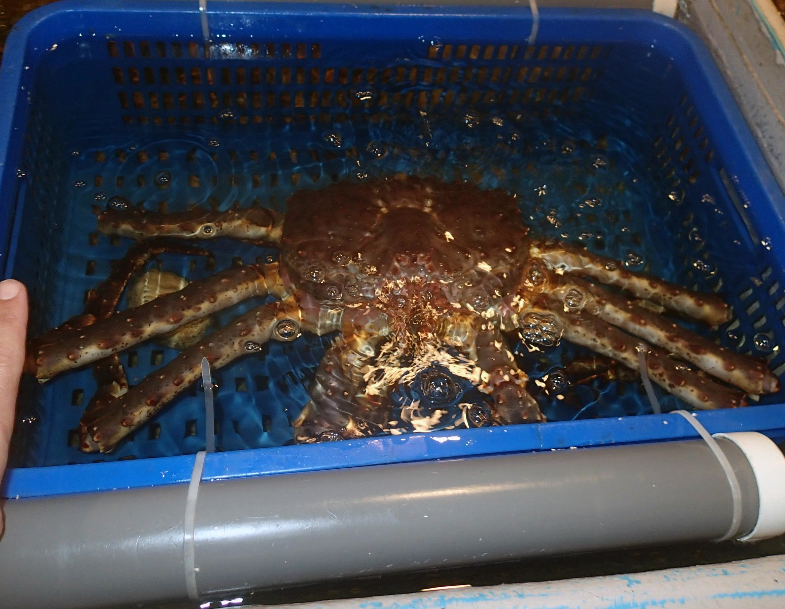 crab with scale.jpg