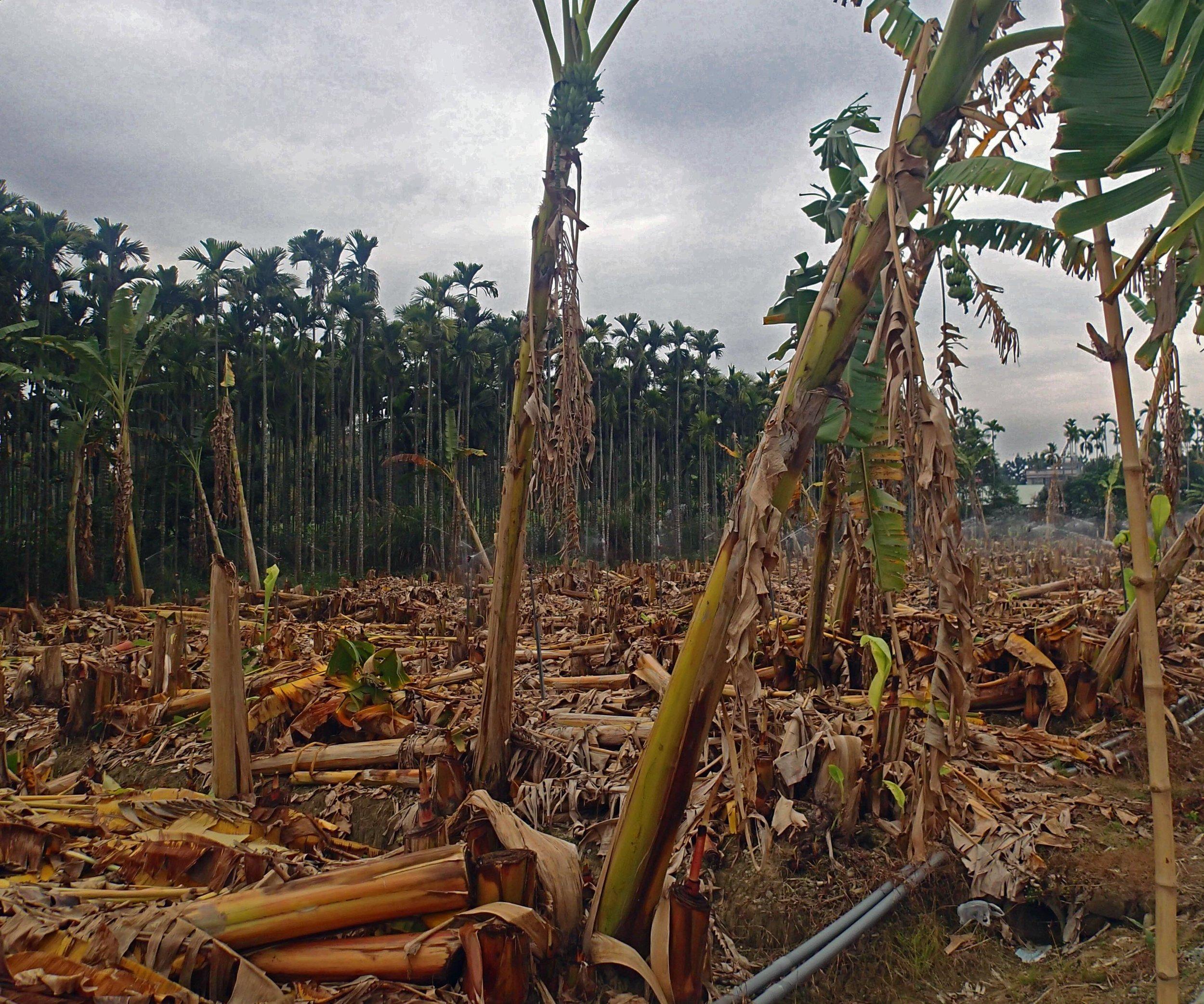 banana farm.jpg