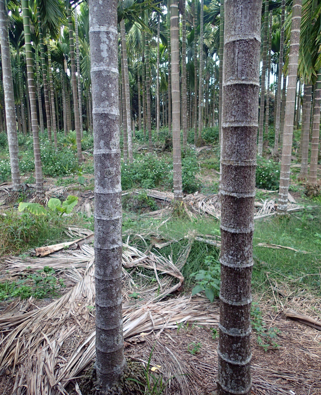 betelnut trees.jpg