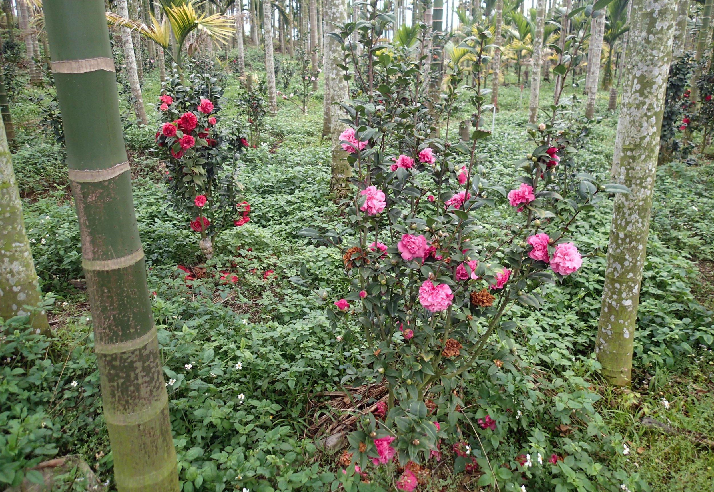 flowers and betelnut trees.jpg