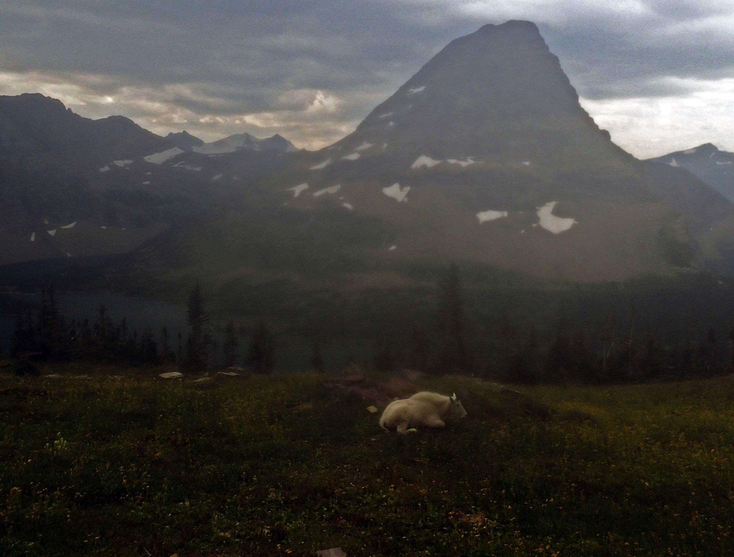 mountain goat at Hidden Lake.jpg