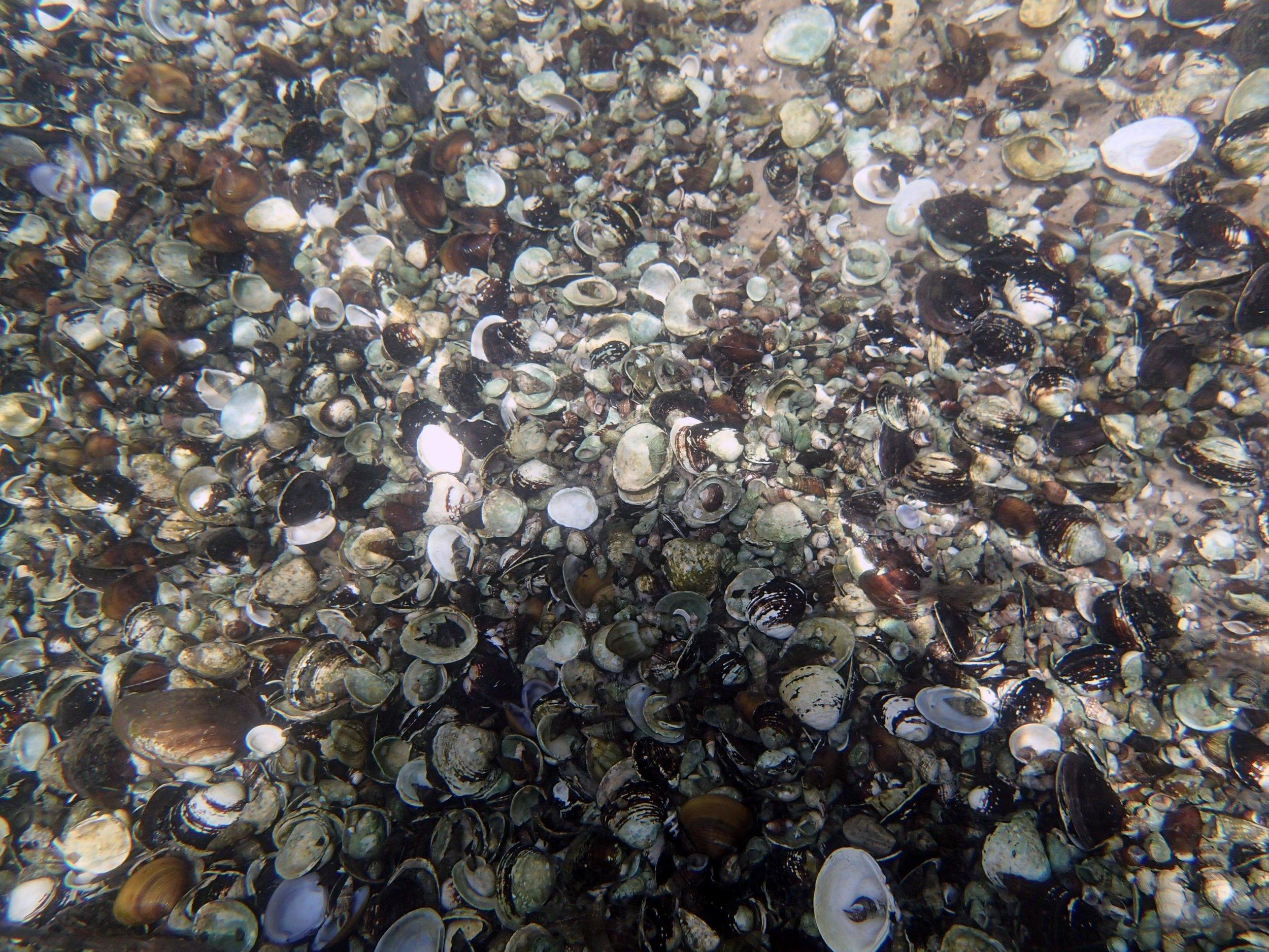 freshwater molluscs.jpg