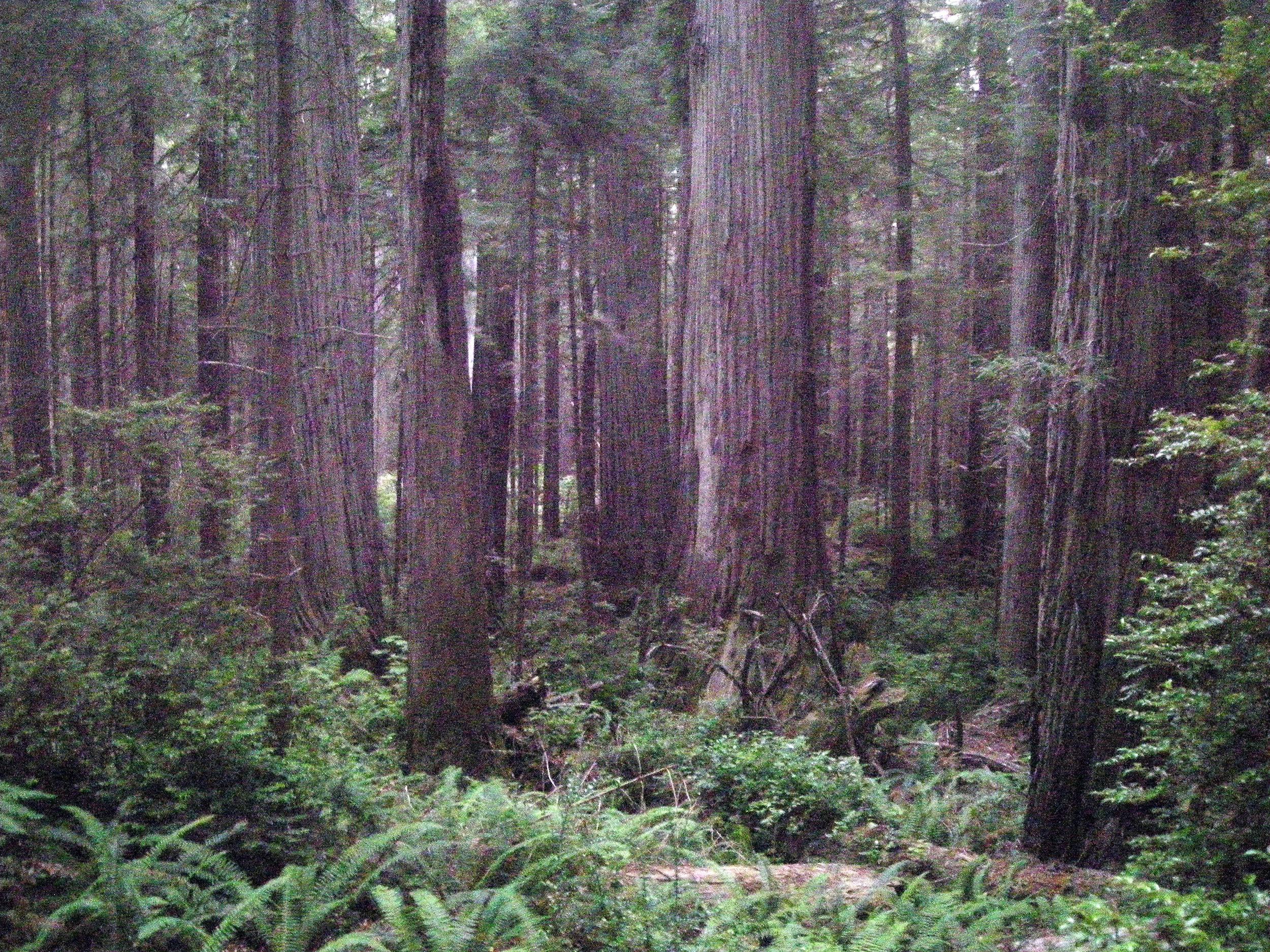 giant redwoods.jpg