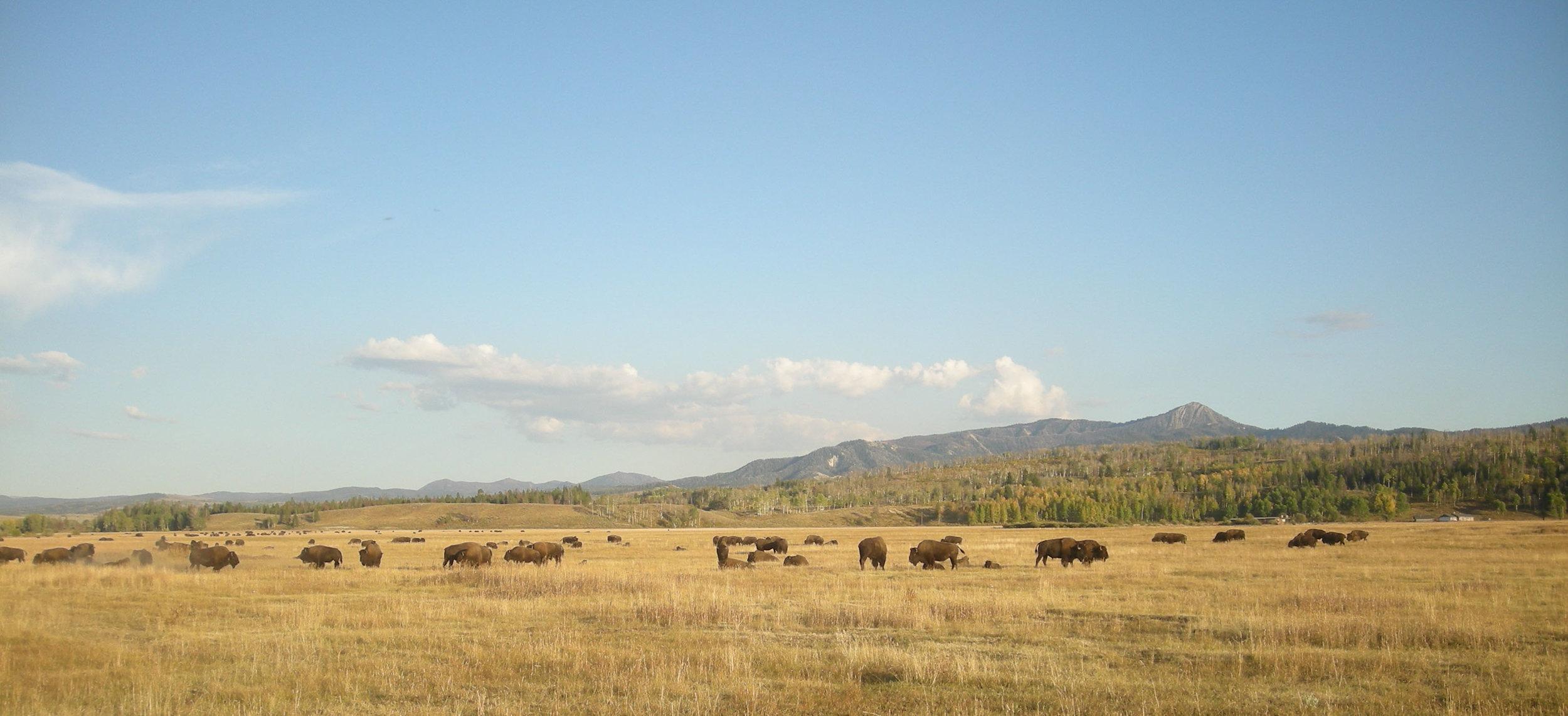 bison herd.jpg