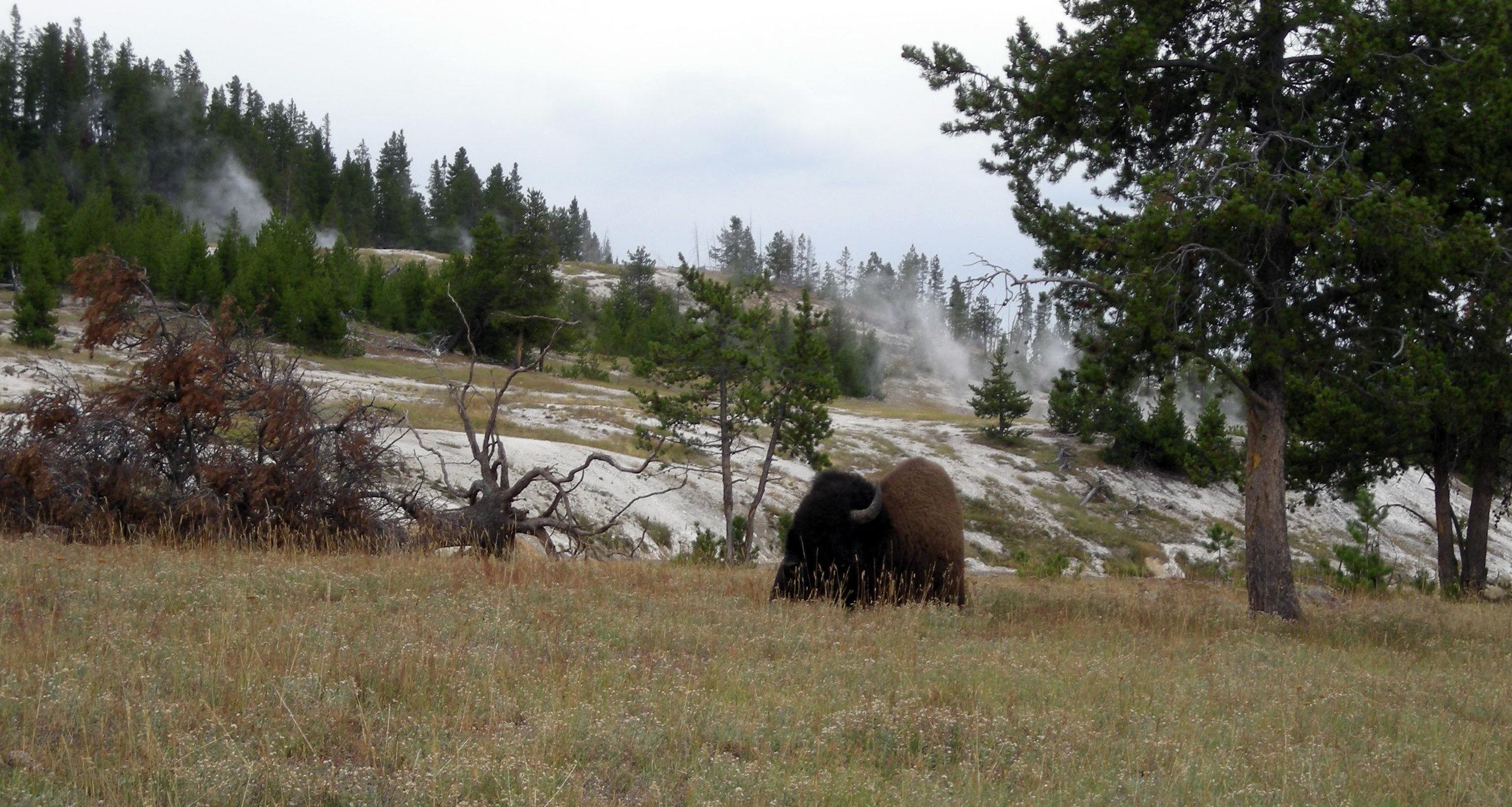 bison 3.jpg