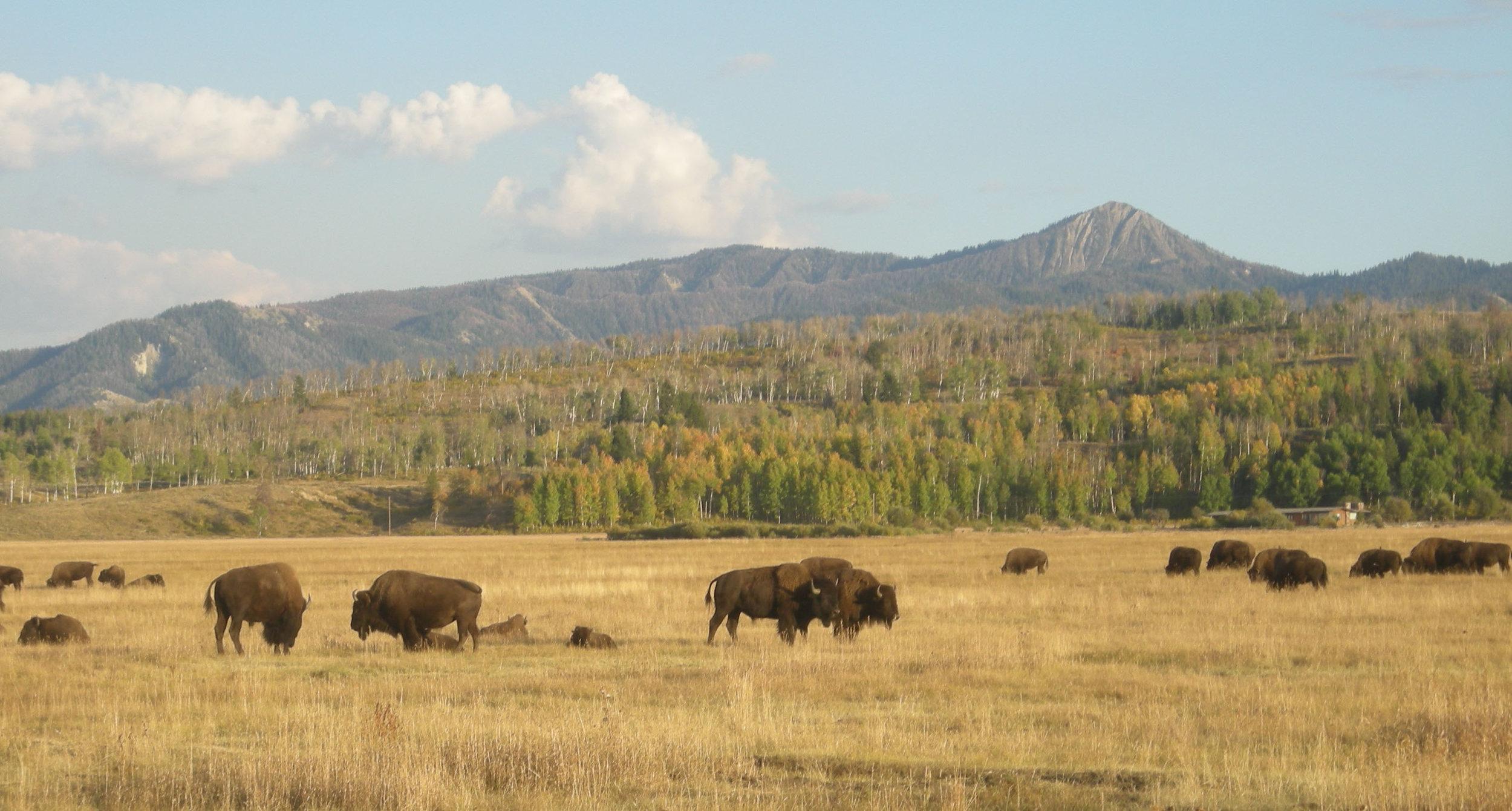 buffalo herd.jpg