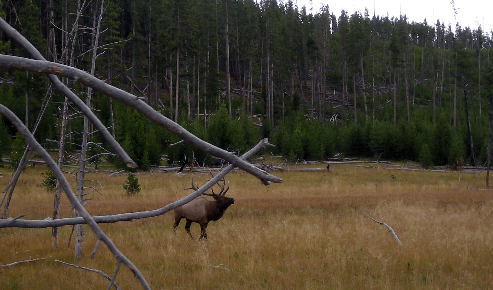 bull elk in rutt.jpg