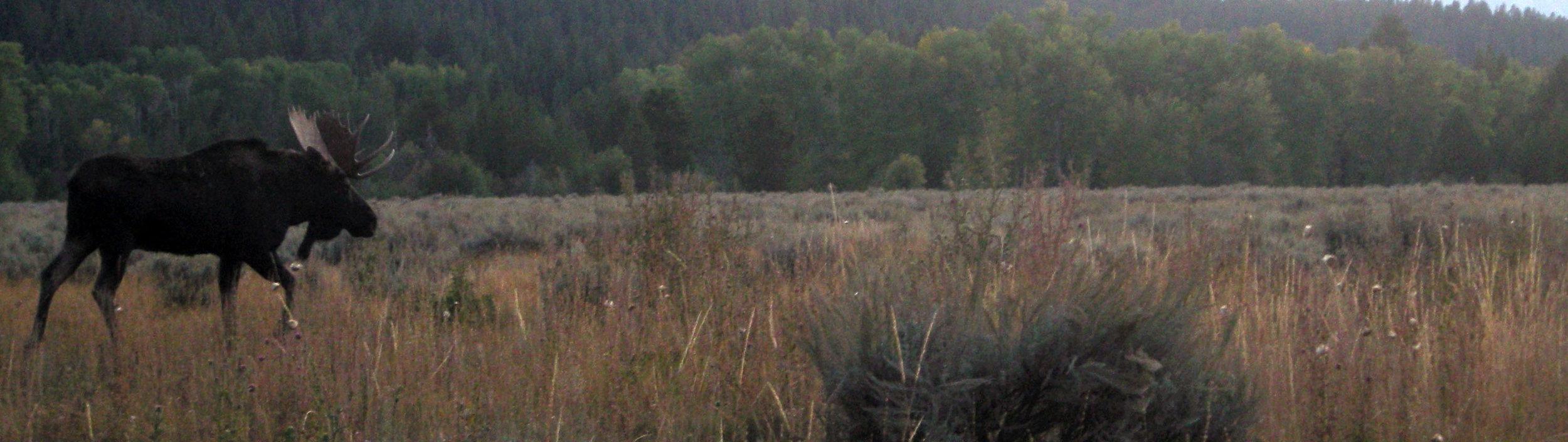 good moose shot.jpg