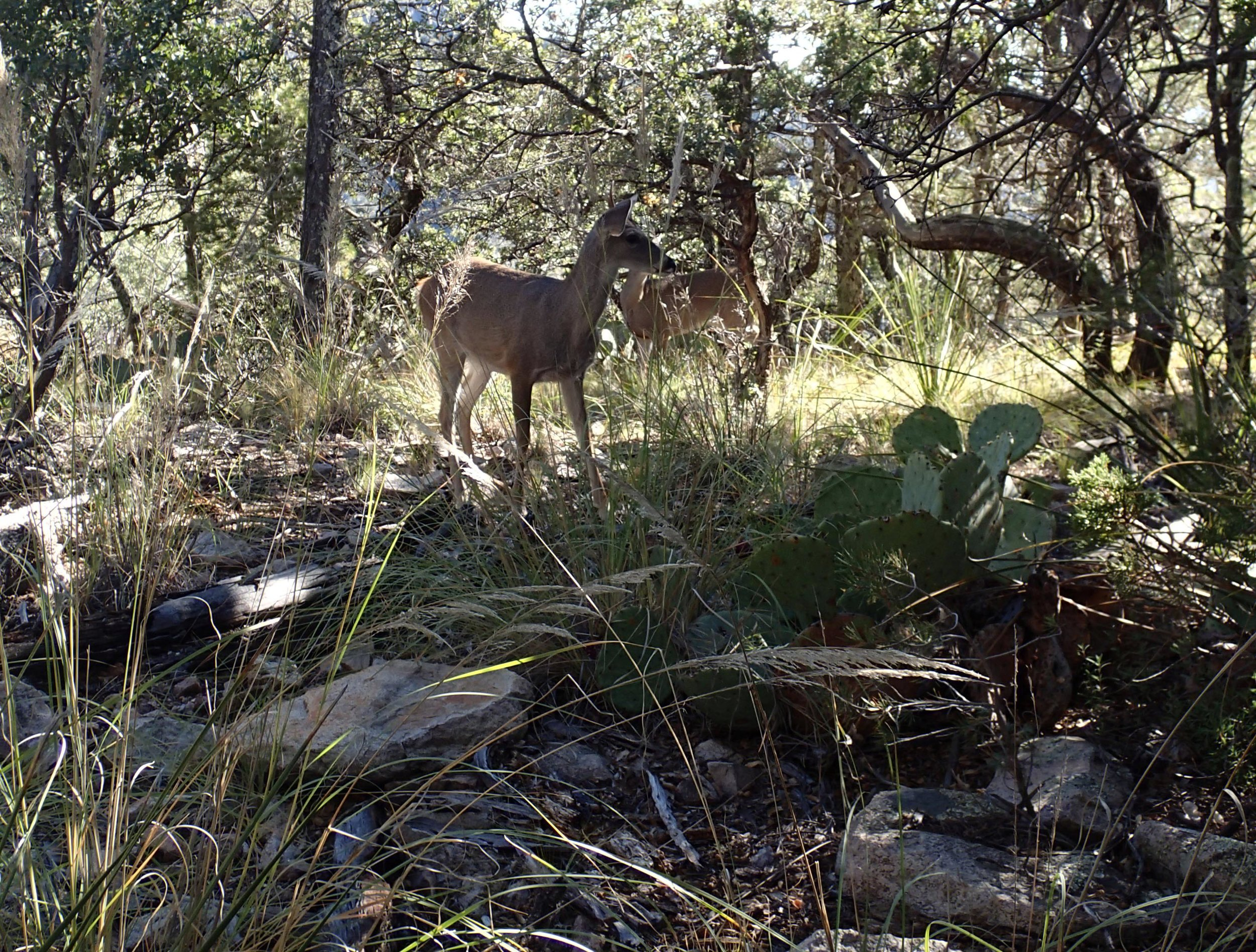 deer at Big Bend.jpg