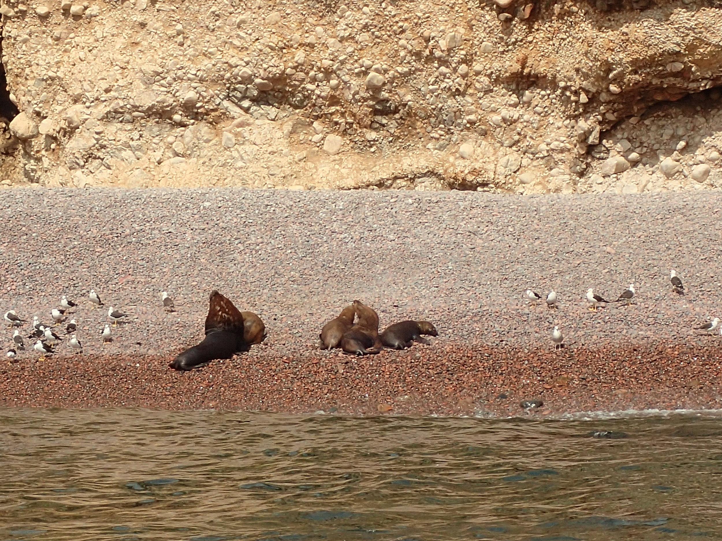 decent zoom shot of beached sea lions.jpg