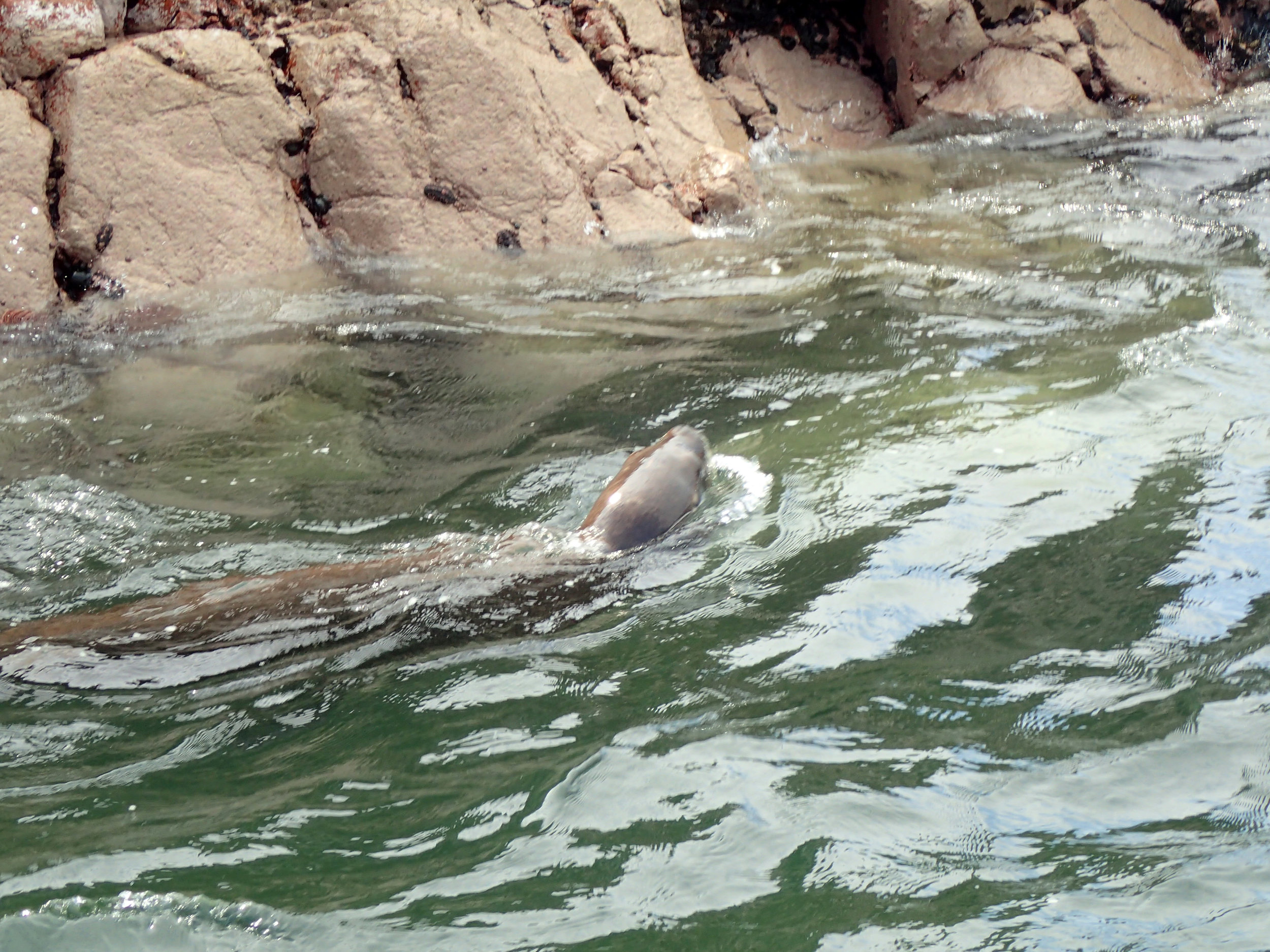 swimming sea lion from behind.jpg