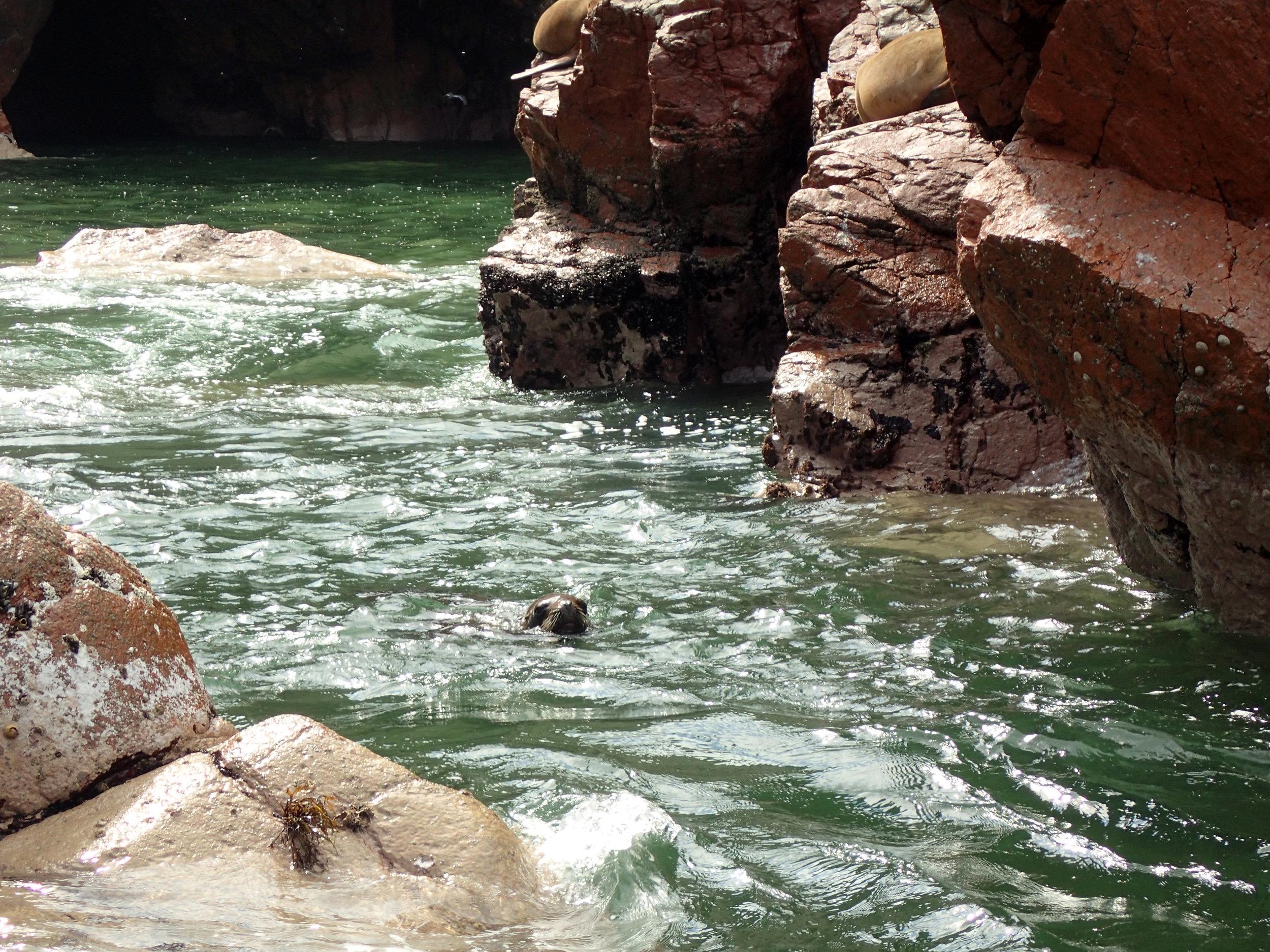 swimming sea lion.jpg