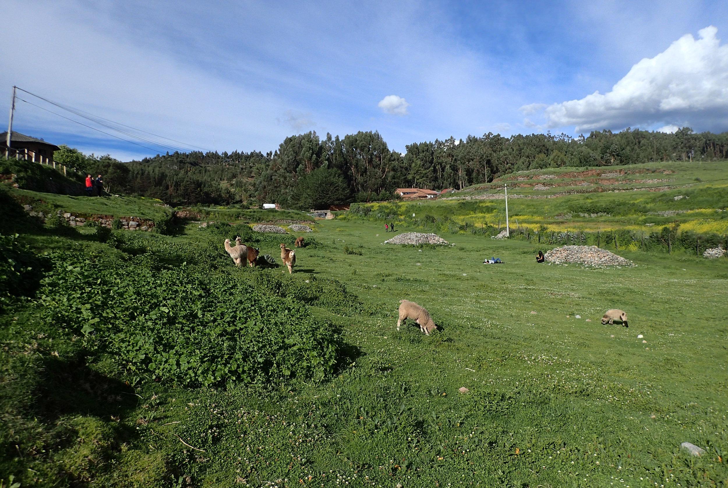 Ciao's first alpacas.jpg
