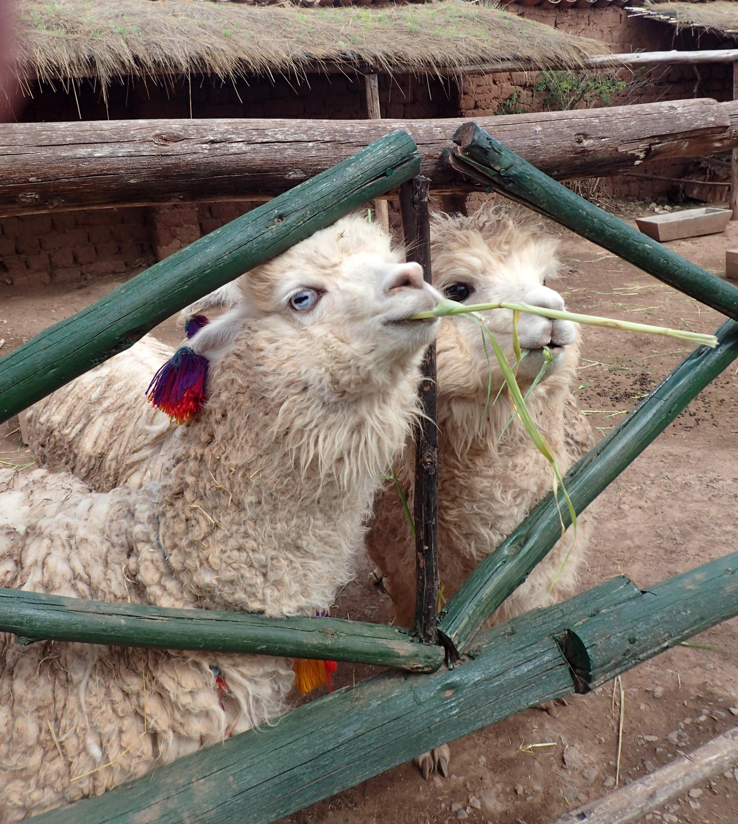 creepy alpaca.jpg