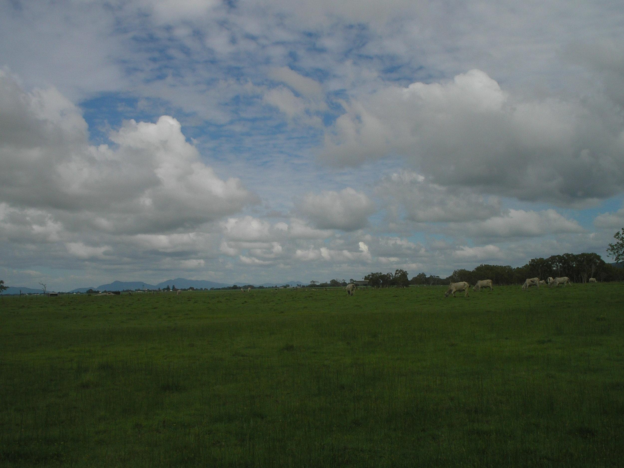 proserpine cows.JPG