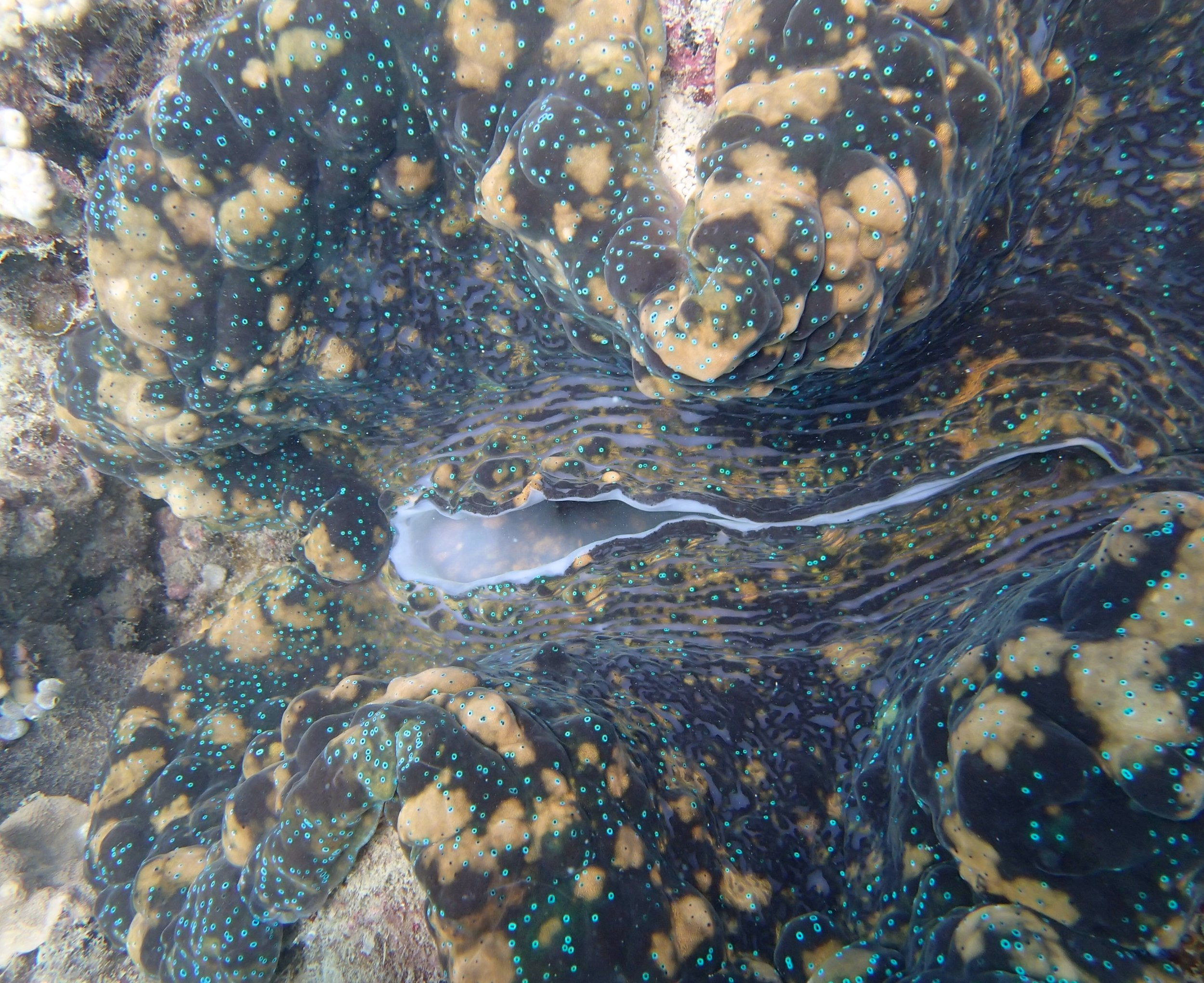 monster giant clam.jpg