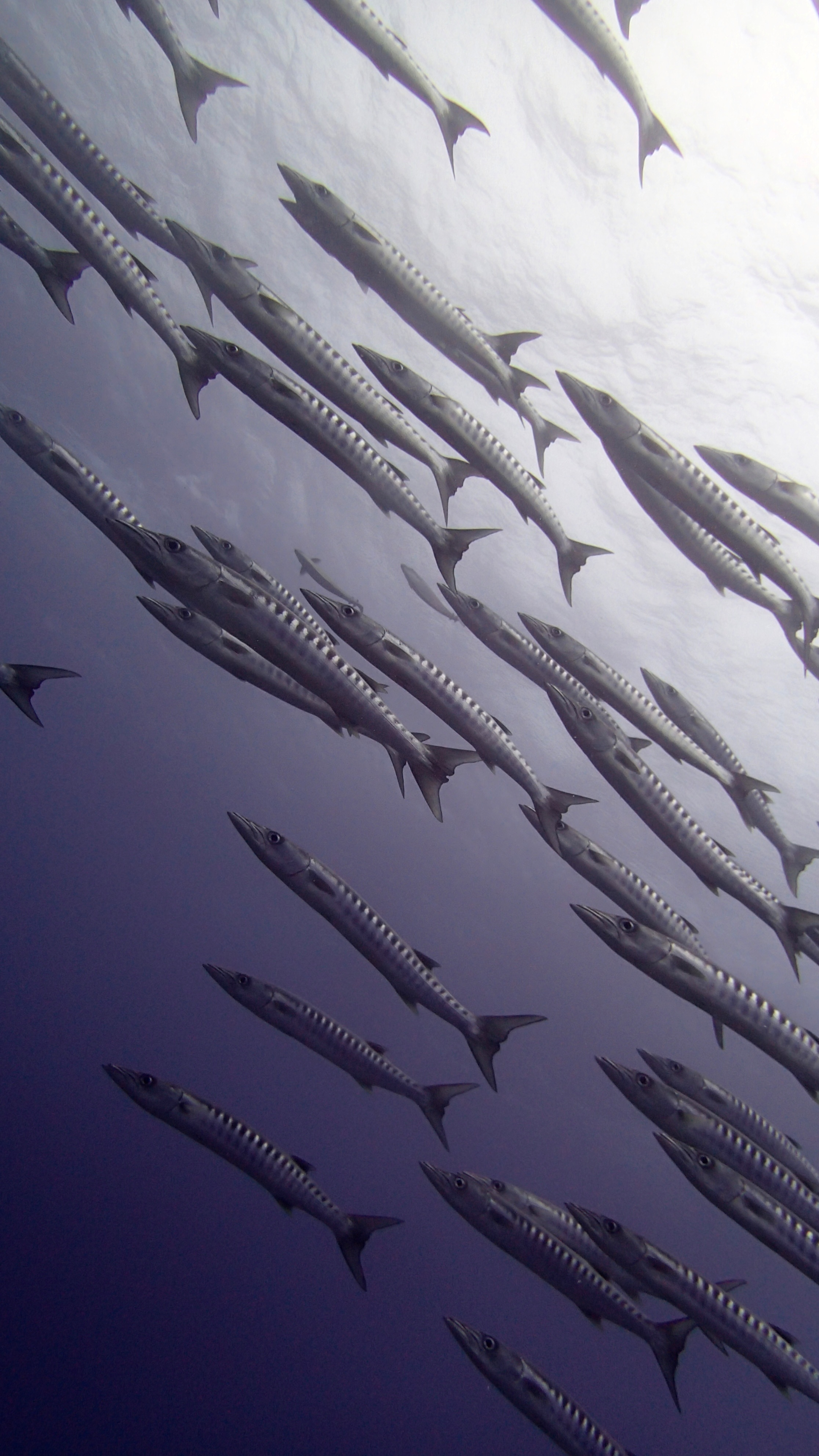 another good barracuda shot.jpg