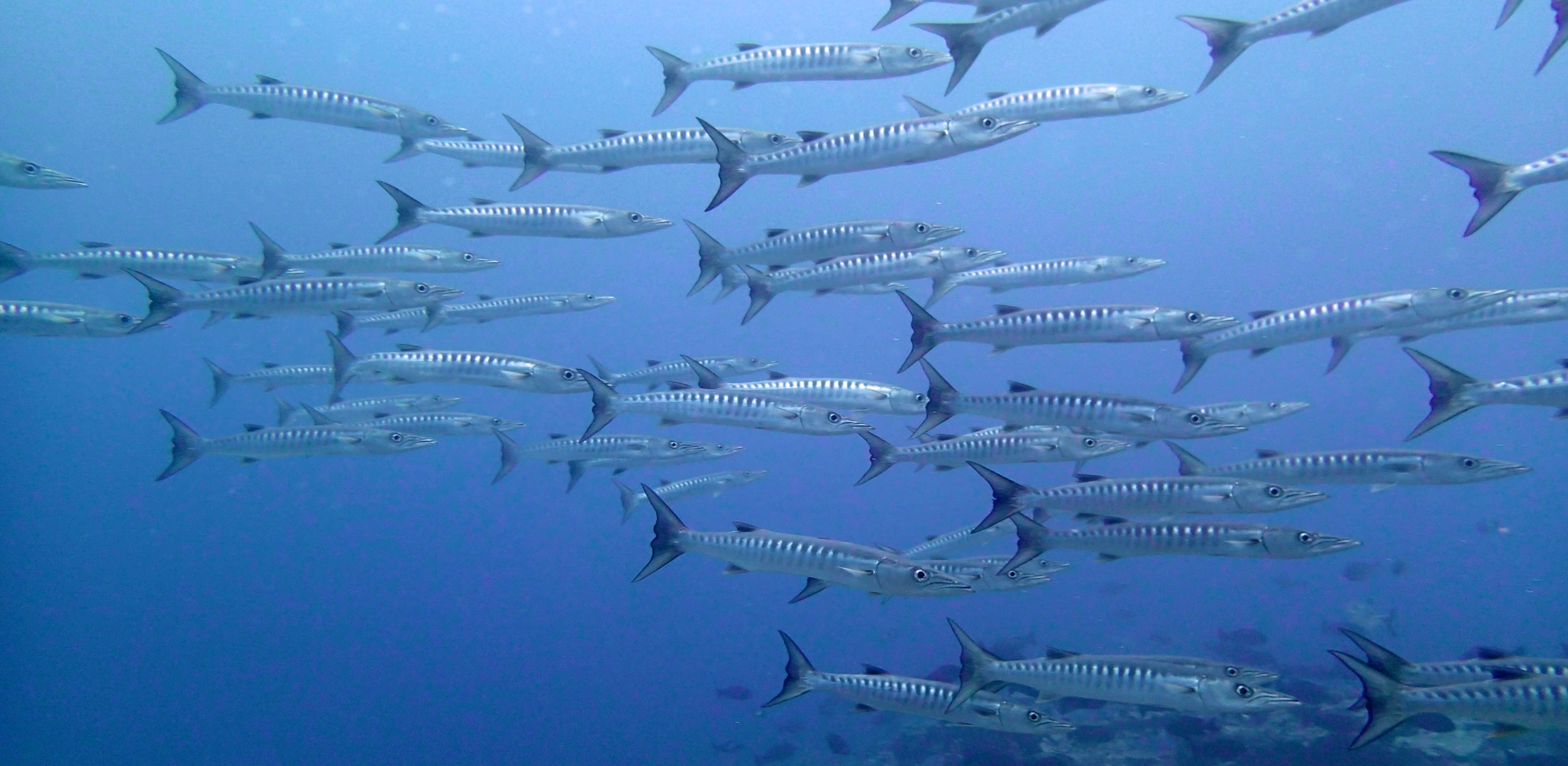good barracuda shot.jpg