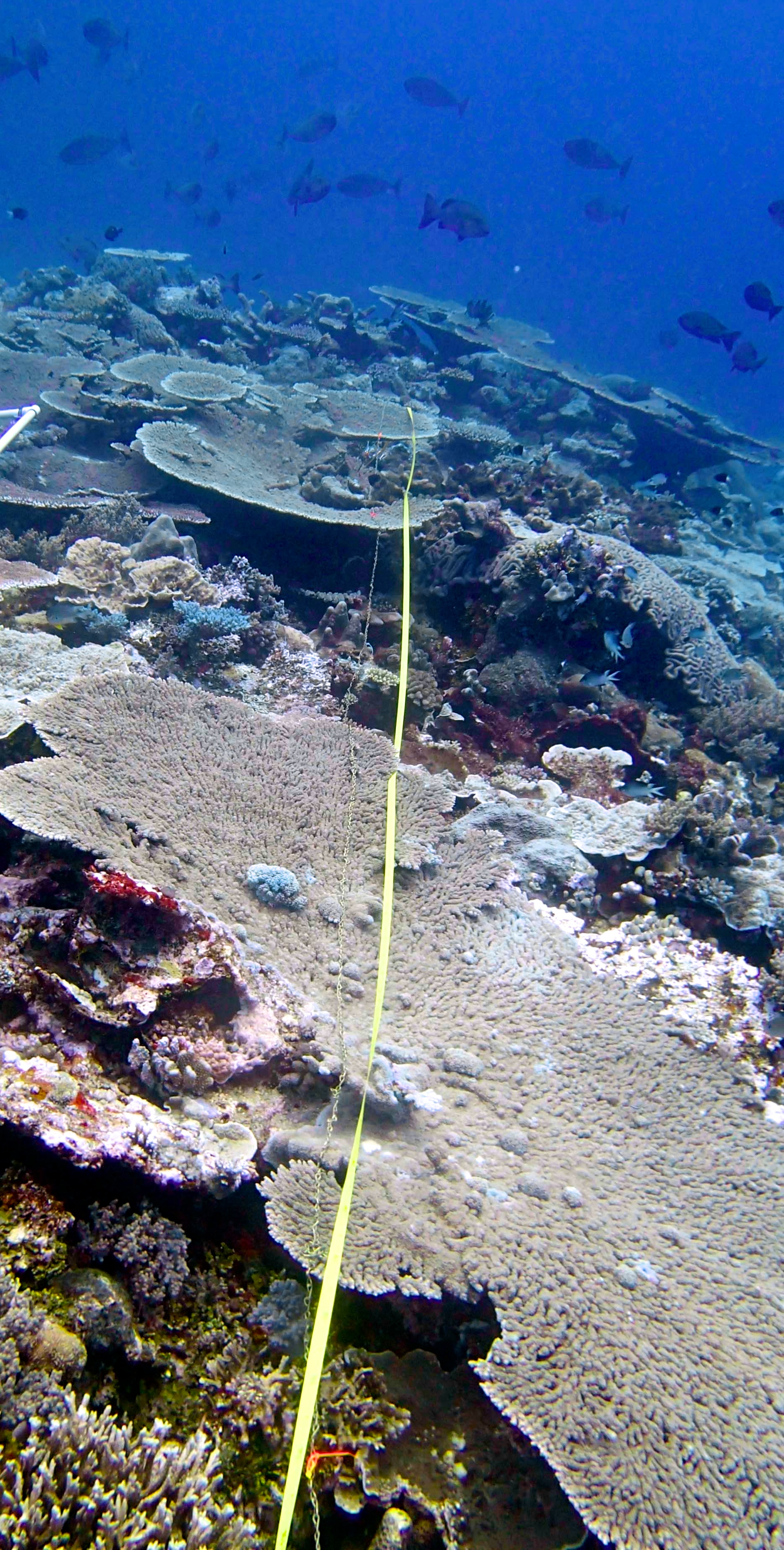 rugosity transect at Wood Reef.jpg
