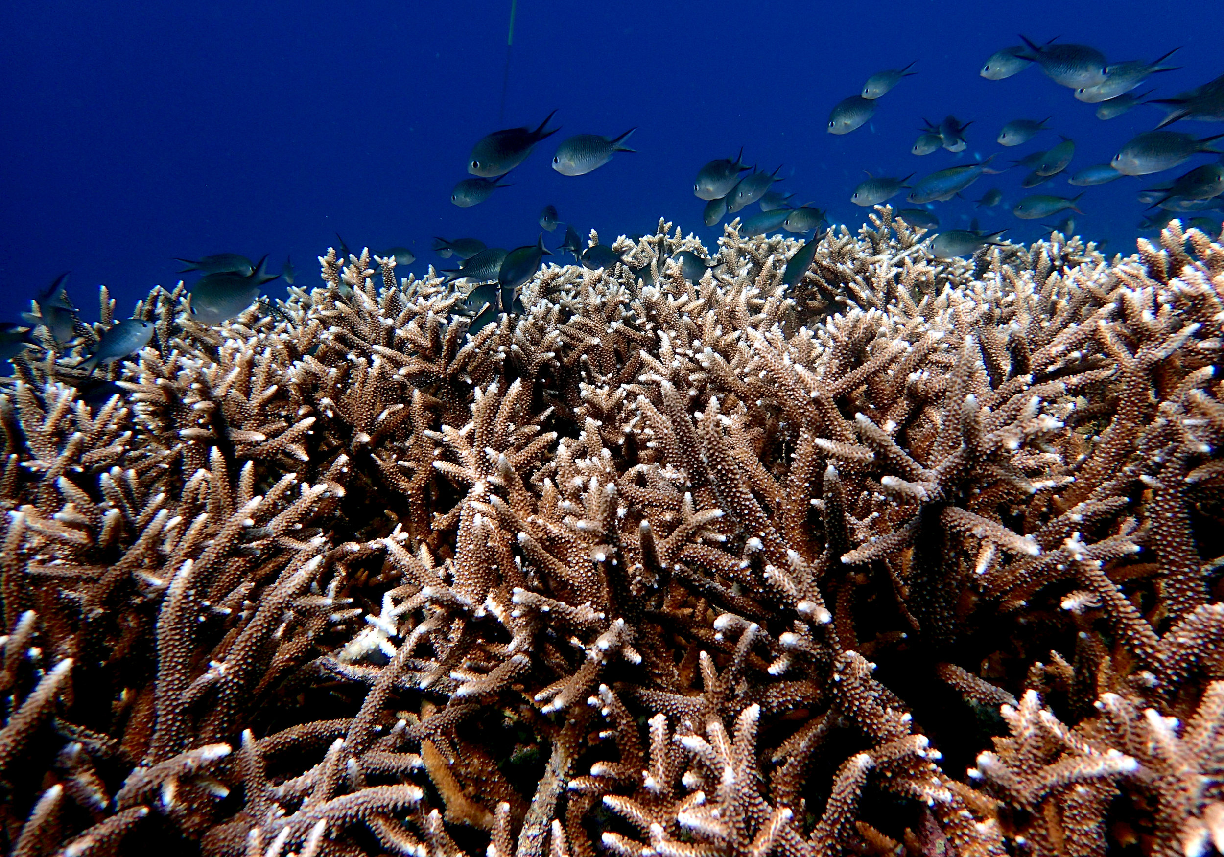 great Acropora shot Banda Islands.jpg